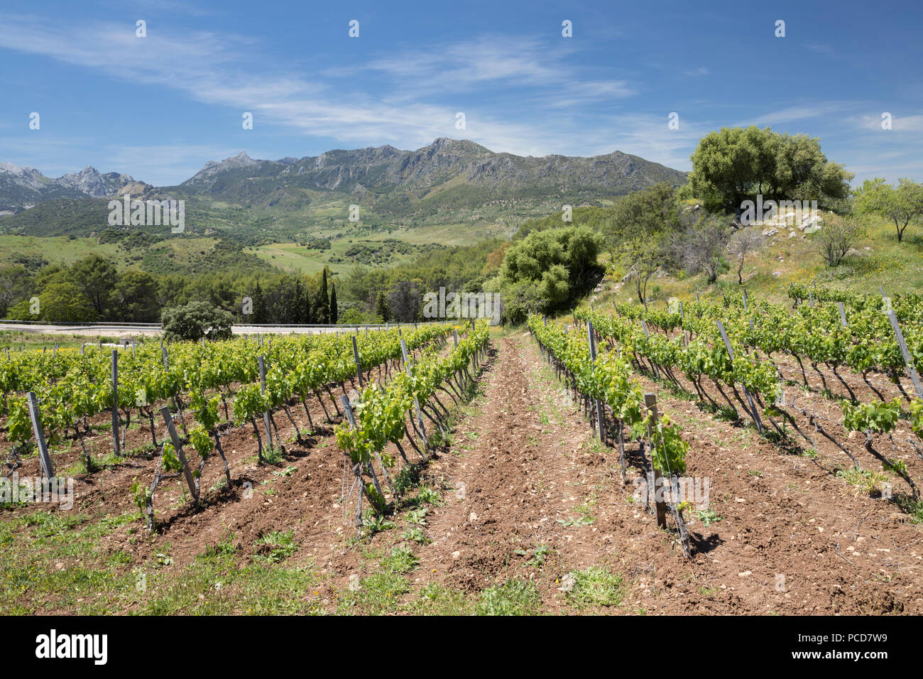 Vineyard set below mountains of the Sierra de Grazalema Natural Park, Zahara de la Sierra, Cadiz Province, Andalucia, Spain, Europe - Stock Image