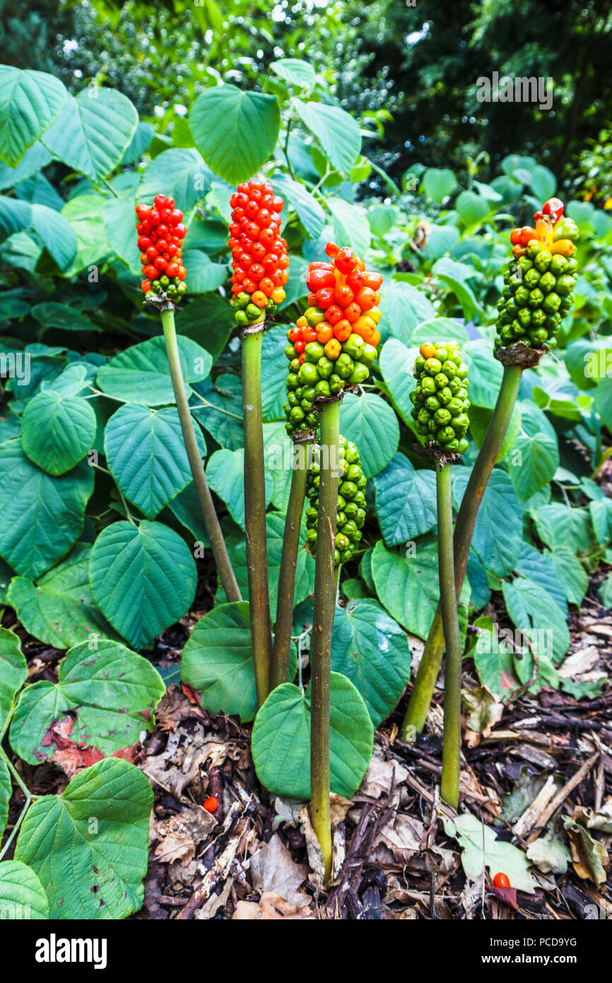 Red and green berries of Arum italicum 'Marmoratum' growing in Royal Horticultural Society (RHS) Gardens, Wisley in summer - Stock Image