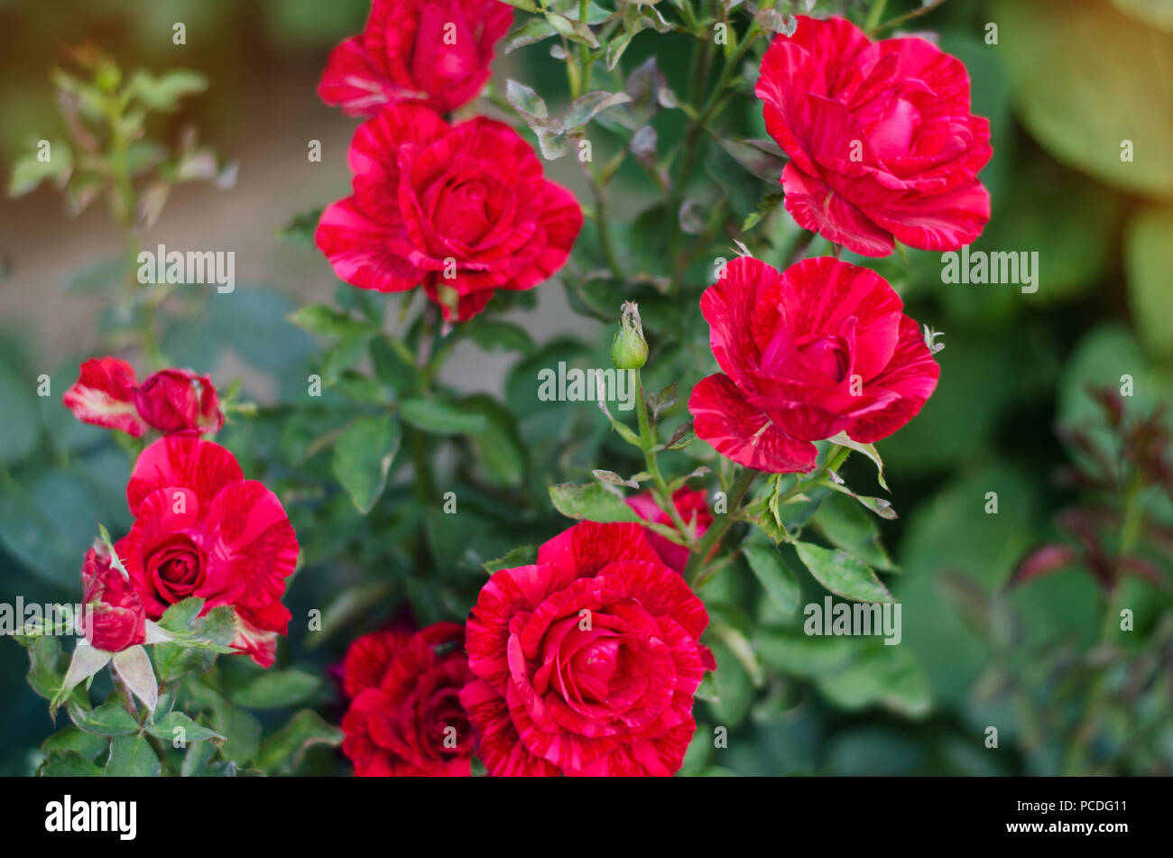 Beautiful Red Roses In The Garden Bright Colors Beautiful