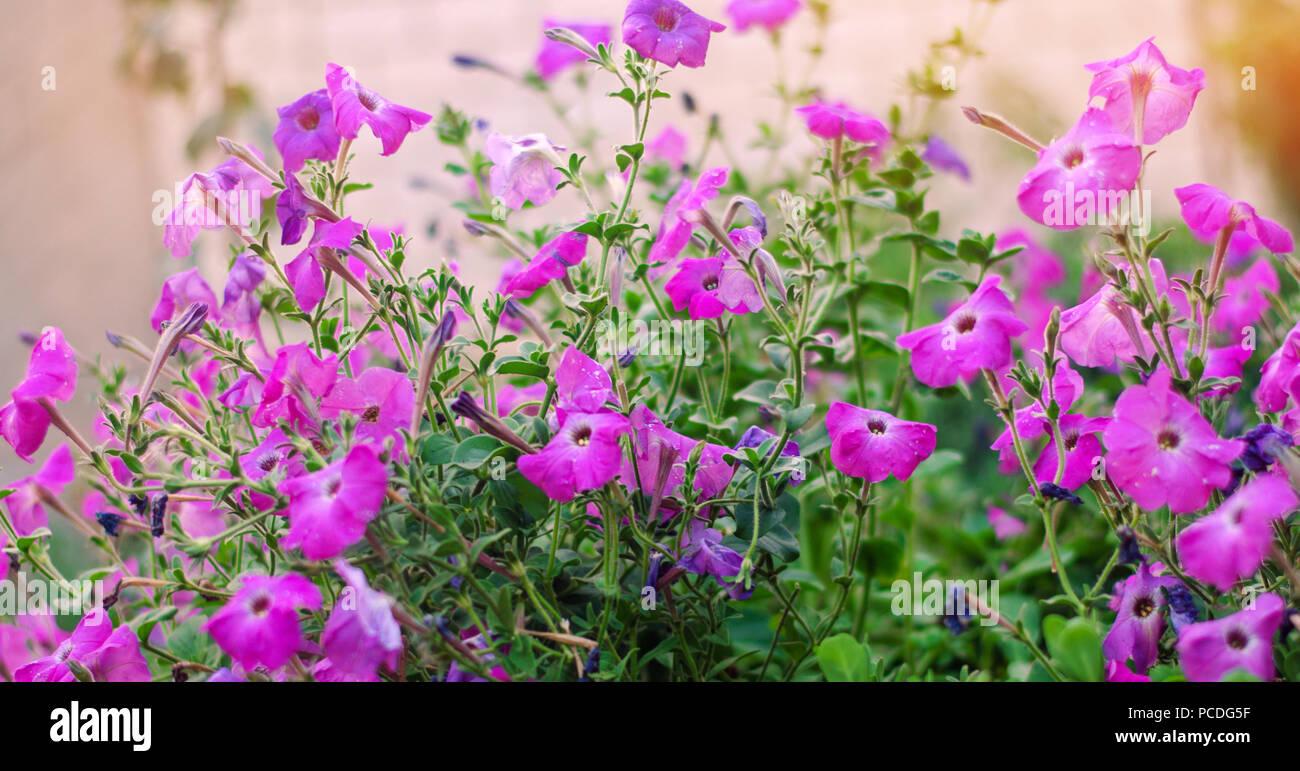beautiful purple flowers petunia in the garden, amazing wallpaper ...