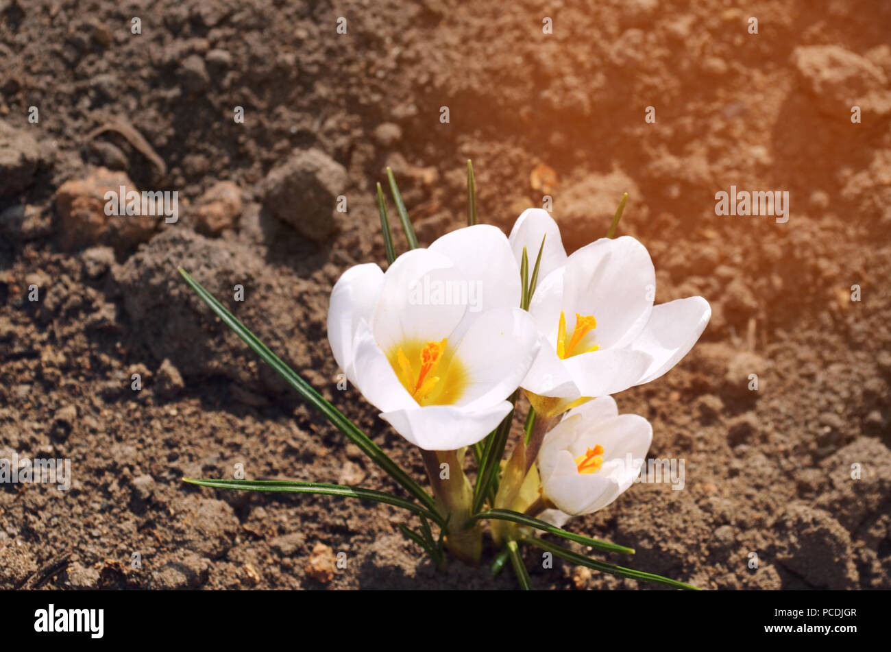 White Crocuses Concept Of Spring Beautiful Flower Natural Wallpaper Close Up Stock Photo Alamy