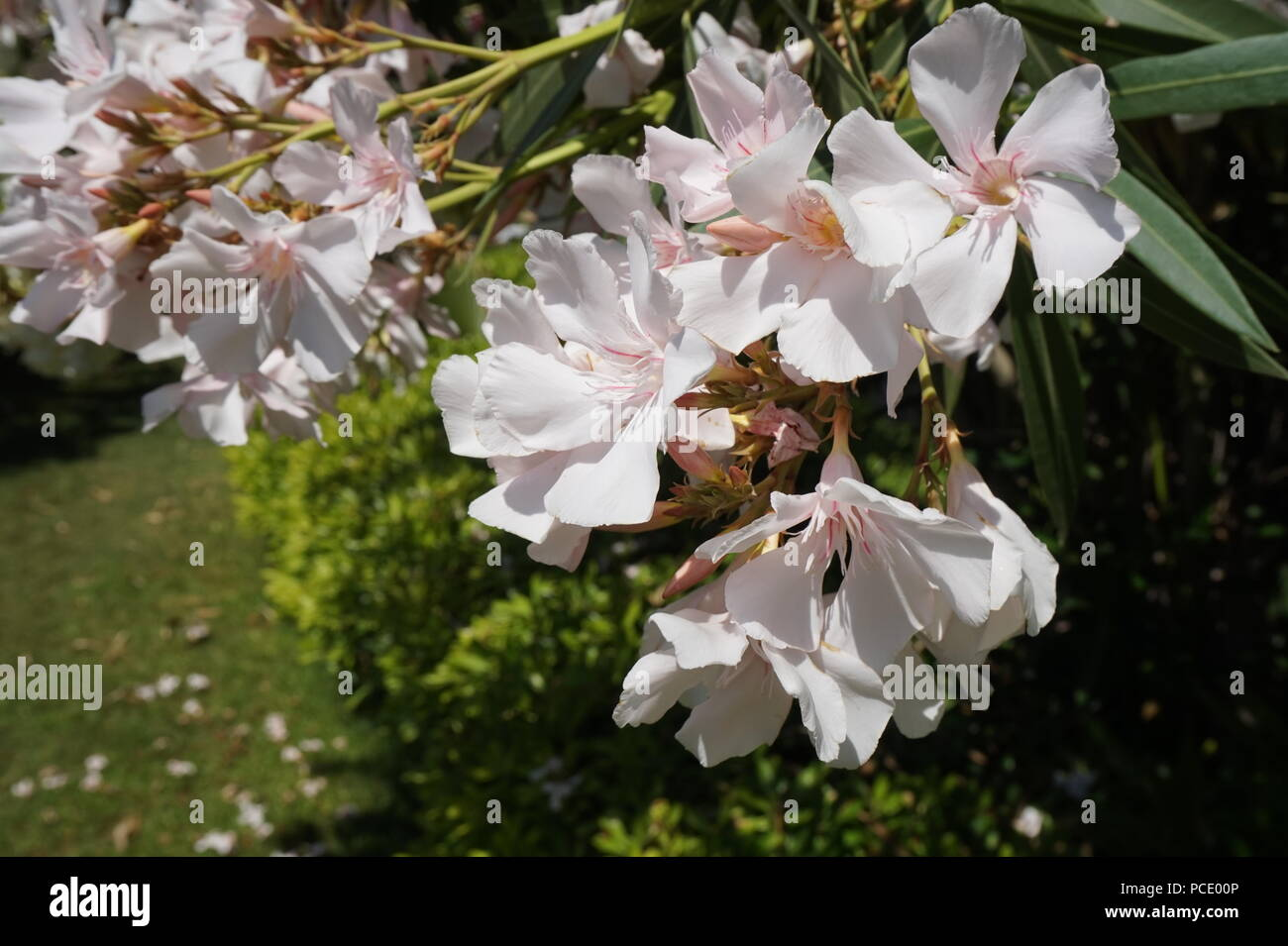 Oleander Shrub With Delicate White Flowers Beautiful Floral