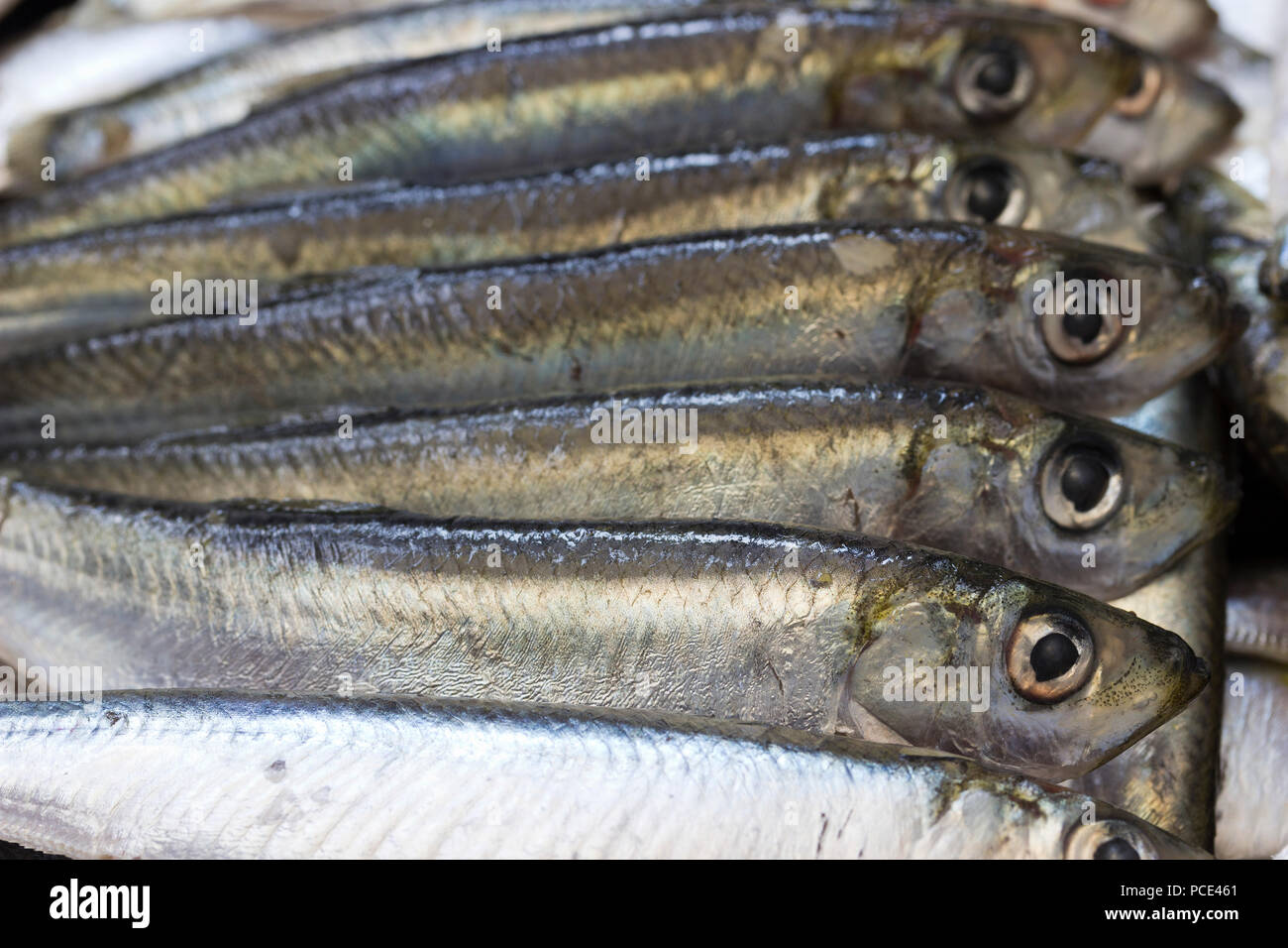 Sardine fishes in a row - Stock Image