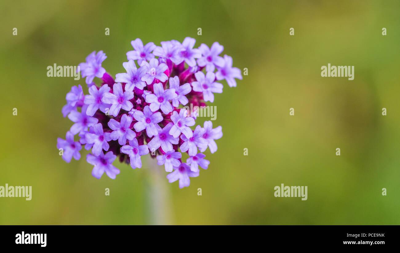 A Macro Shot Of The Light Purple Flowers Of A Verbena Plant Stock