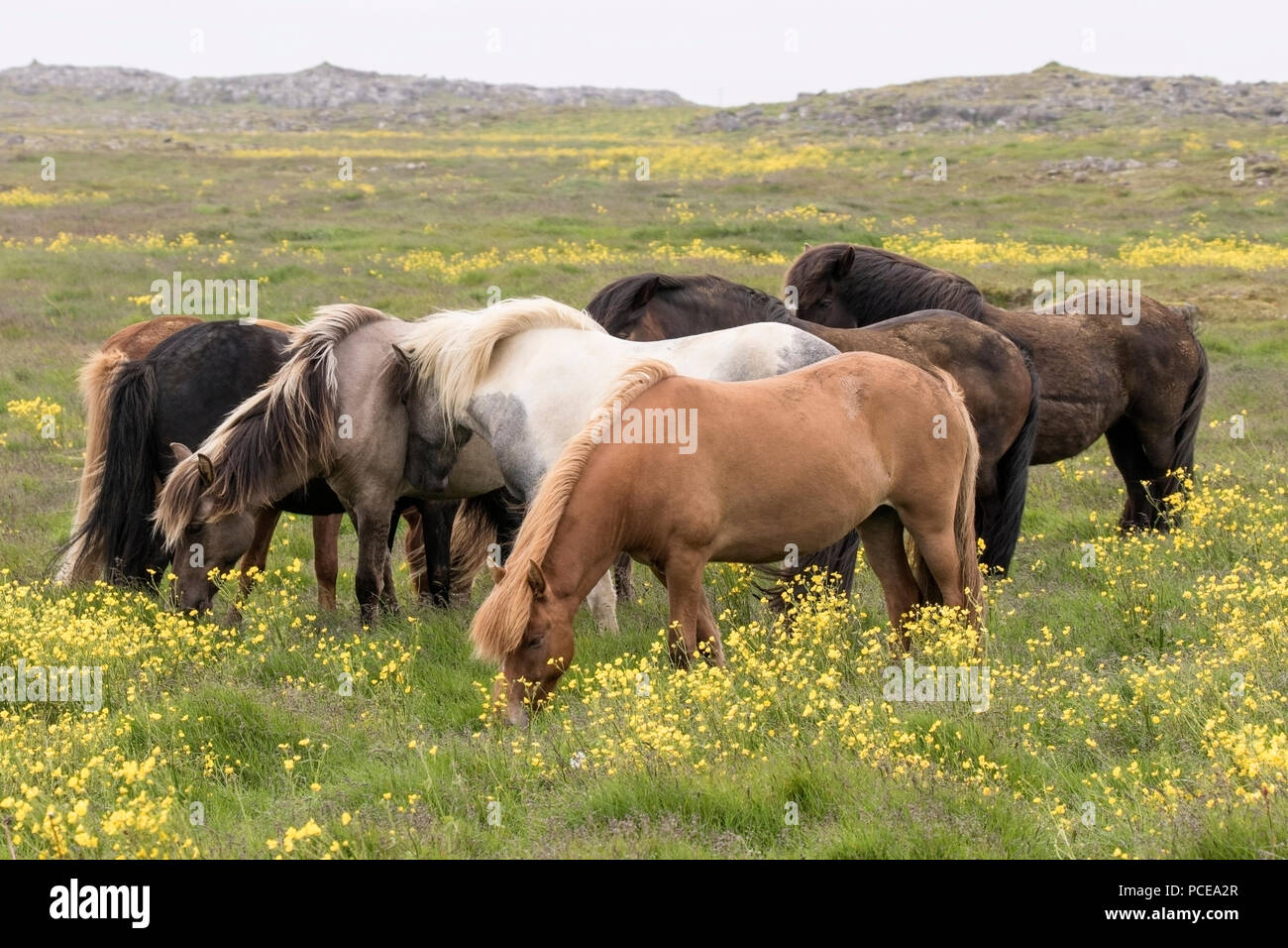 Icelandic horse or Icelandic pony, showing herd of animals in field in Iceland - Stock Image