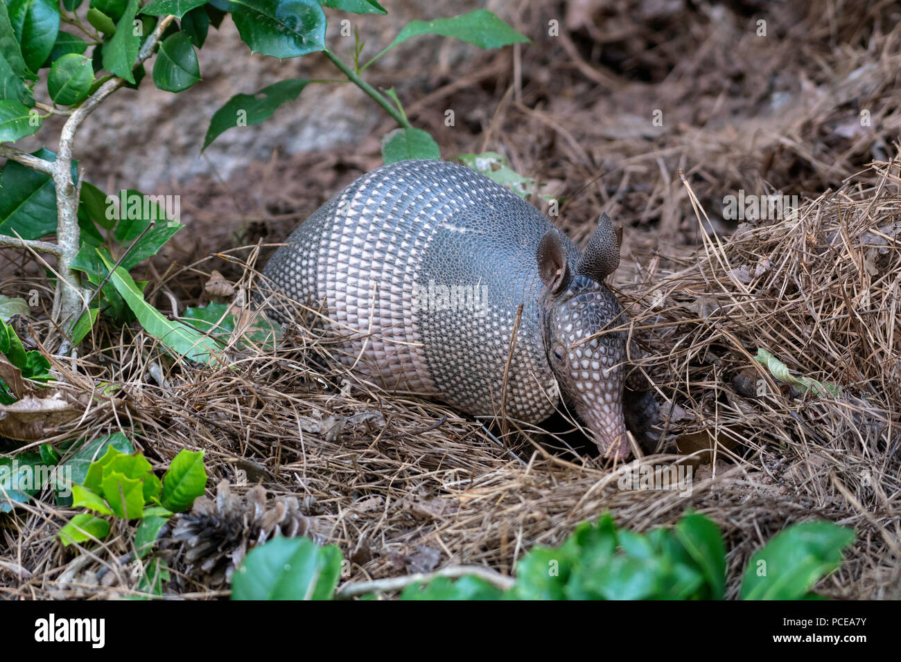 An armadillo, Dasypus novemcinctus, roots in the ground under a pine tree in northwest Louisiana. - Stock Image