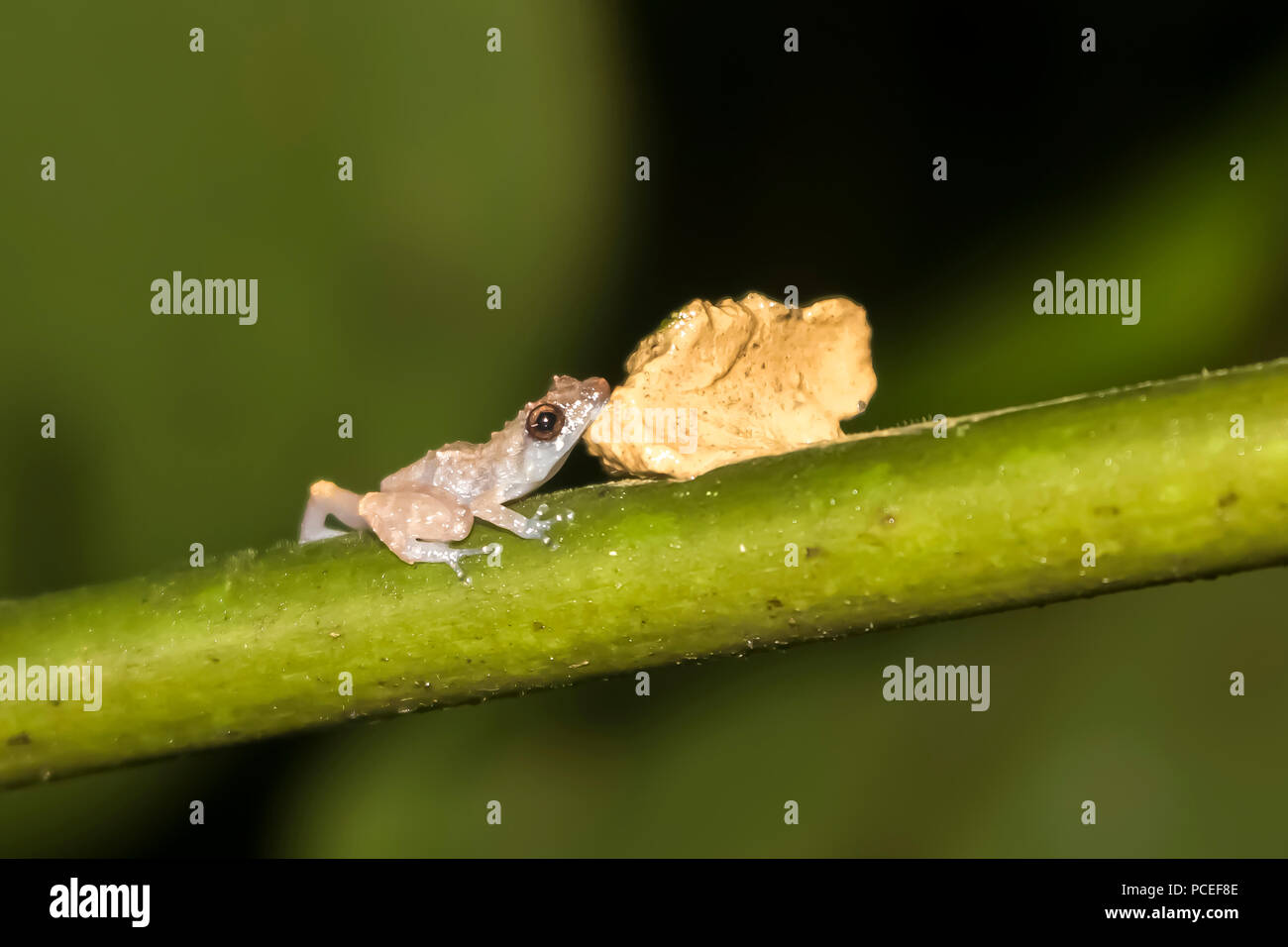 Tiny Glass Frog Rests Chin on Fungus in Close Up Jungle Image - Stock Image