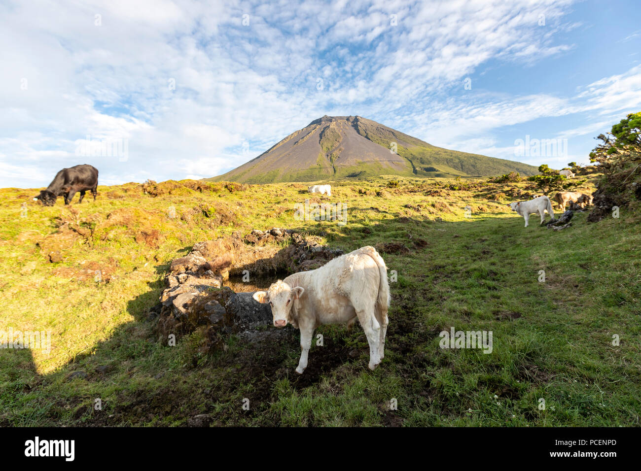 Cows and the silhouette of the Mount Pico along EN3 longitudinal road northeast of Mount Pico, Pico island, Azores, Portugal - Stock Image