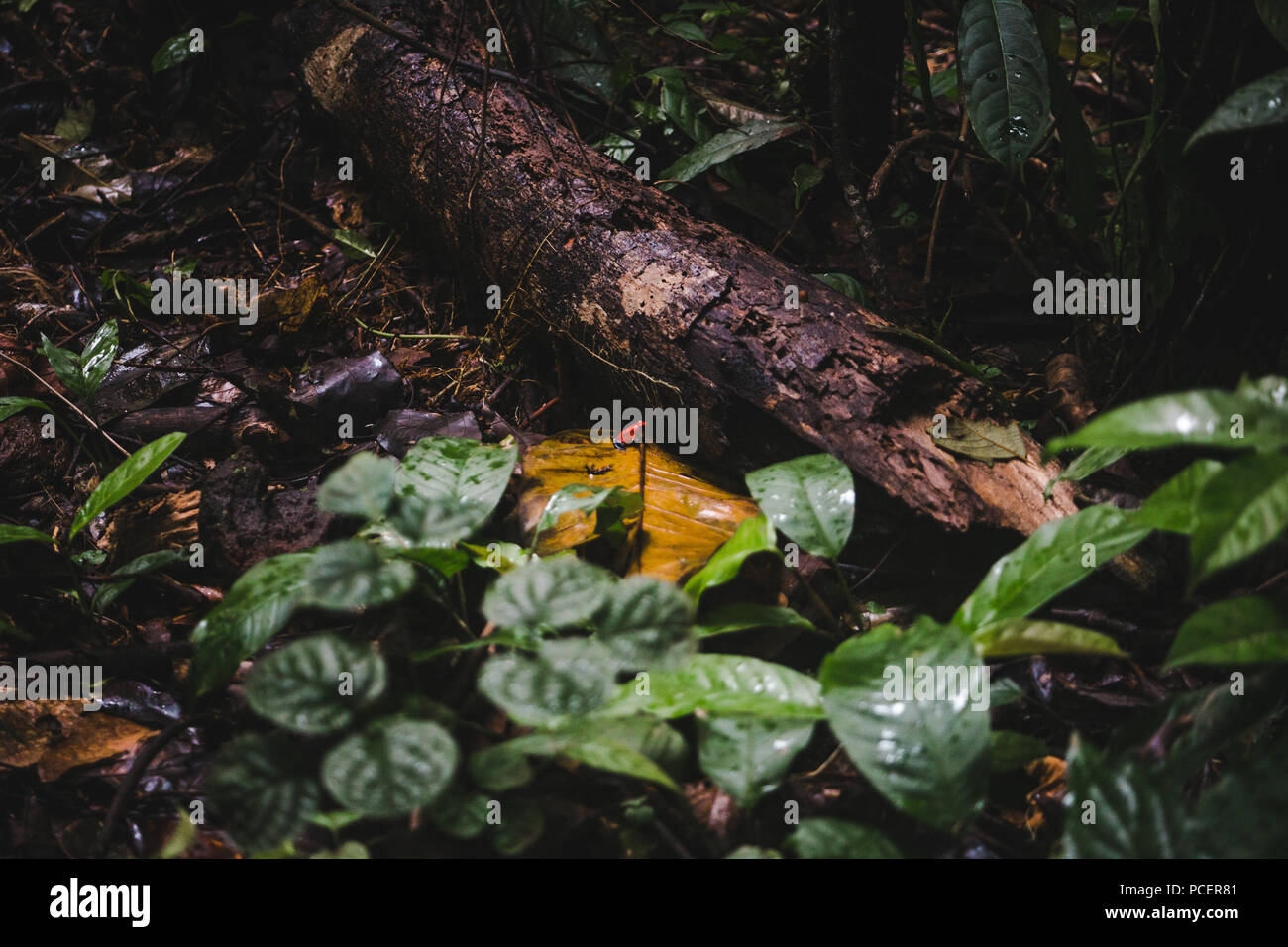 Small poisonous blue jean / strawberry poison-dart frog in the undergrowth of a rainforest in Costa Rica - Stock Image