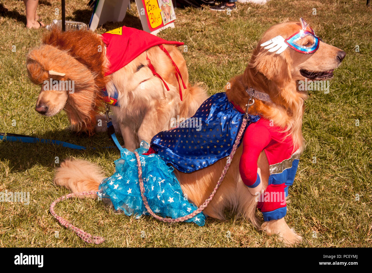 Golden retrievers costumed as a super hero and a lion get ready to compete in the costume parade at a Huntington Beach, CA, dog show.  (Photo by Spencer Grant) Stock Photo