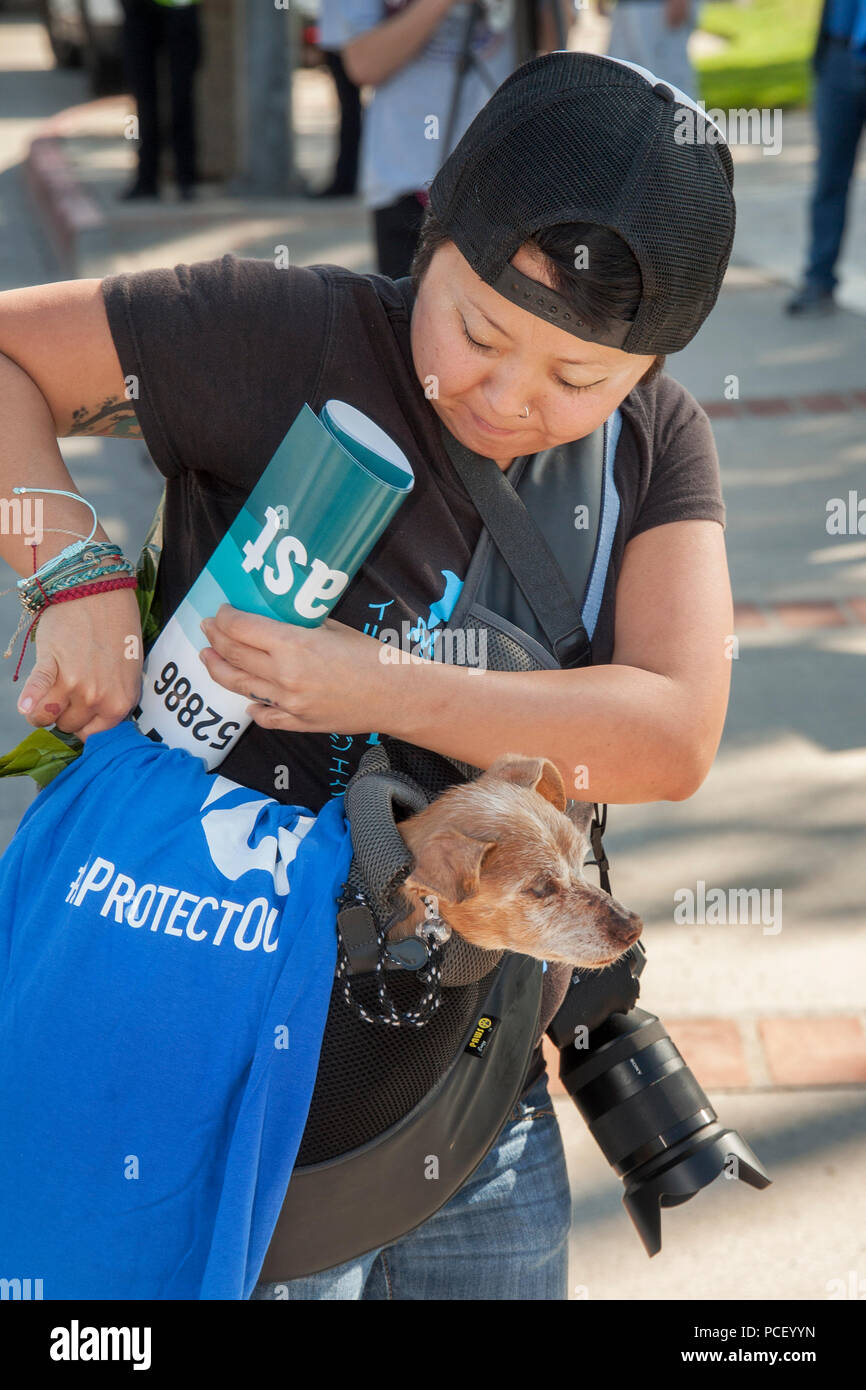 A dog owner carries her Chihuahua-Terrier mix dog in a shoulder bag while walking in a Laguna Beach, CA, park.  (Photo by Spencer Grant) - Stock Image