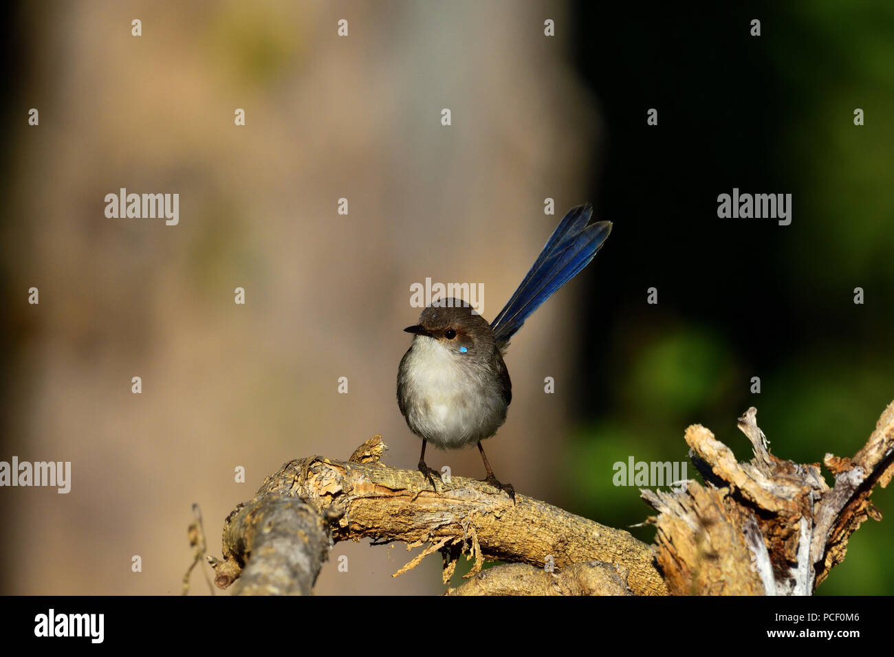 An Australian, Queensland Juvenile Male Superb Fairy-wren ( Malurus cyaneus ) with its cheek plumage colours starting to show - Stock Image