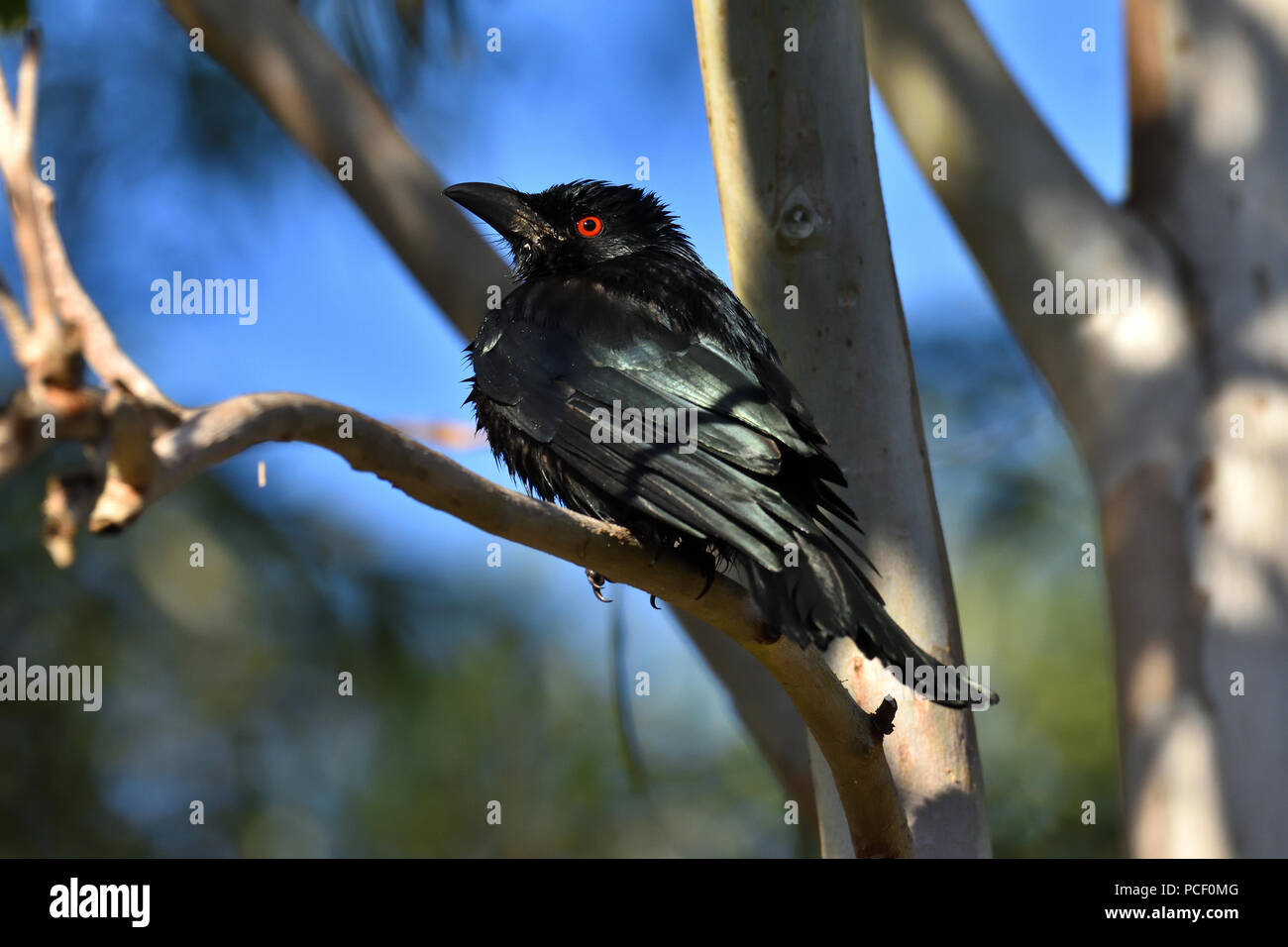 A wet Australian, Queensland Spangled Drongo ( Dicrurus bracteatus ) perched on a tree branch looking to Camera - Stock Image