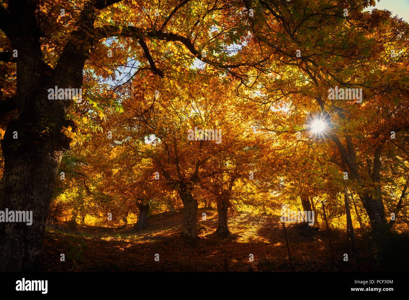Malaga Province, Spain.  Autumn in the chestnut forests of the Valle del Genal in the Serranía de Ronda. - Stock Image