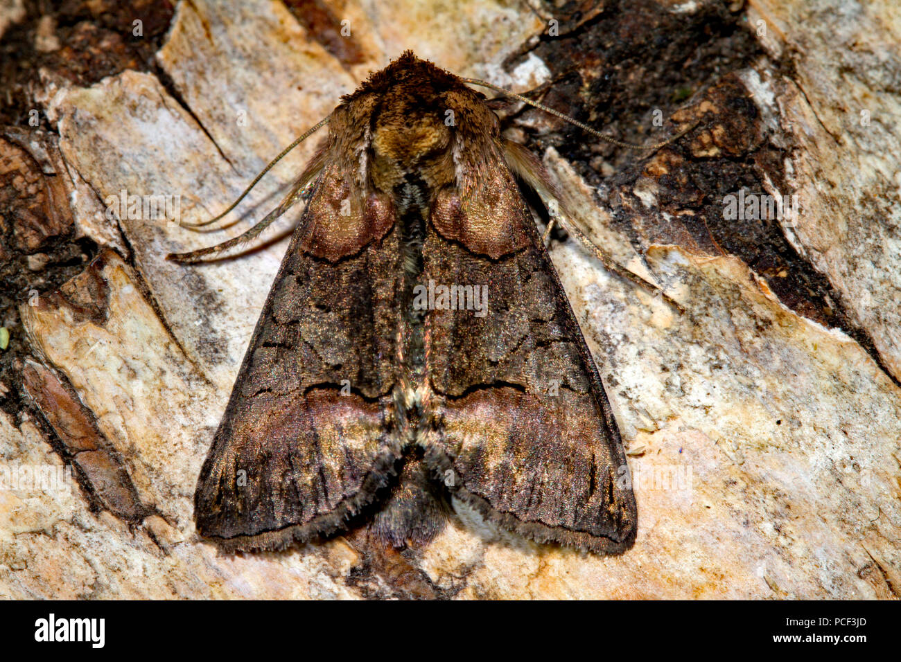 dark spectacle moth, (Abrostola triplasia) - Stock Image