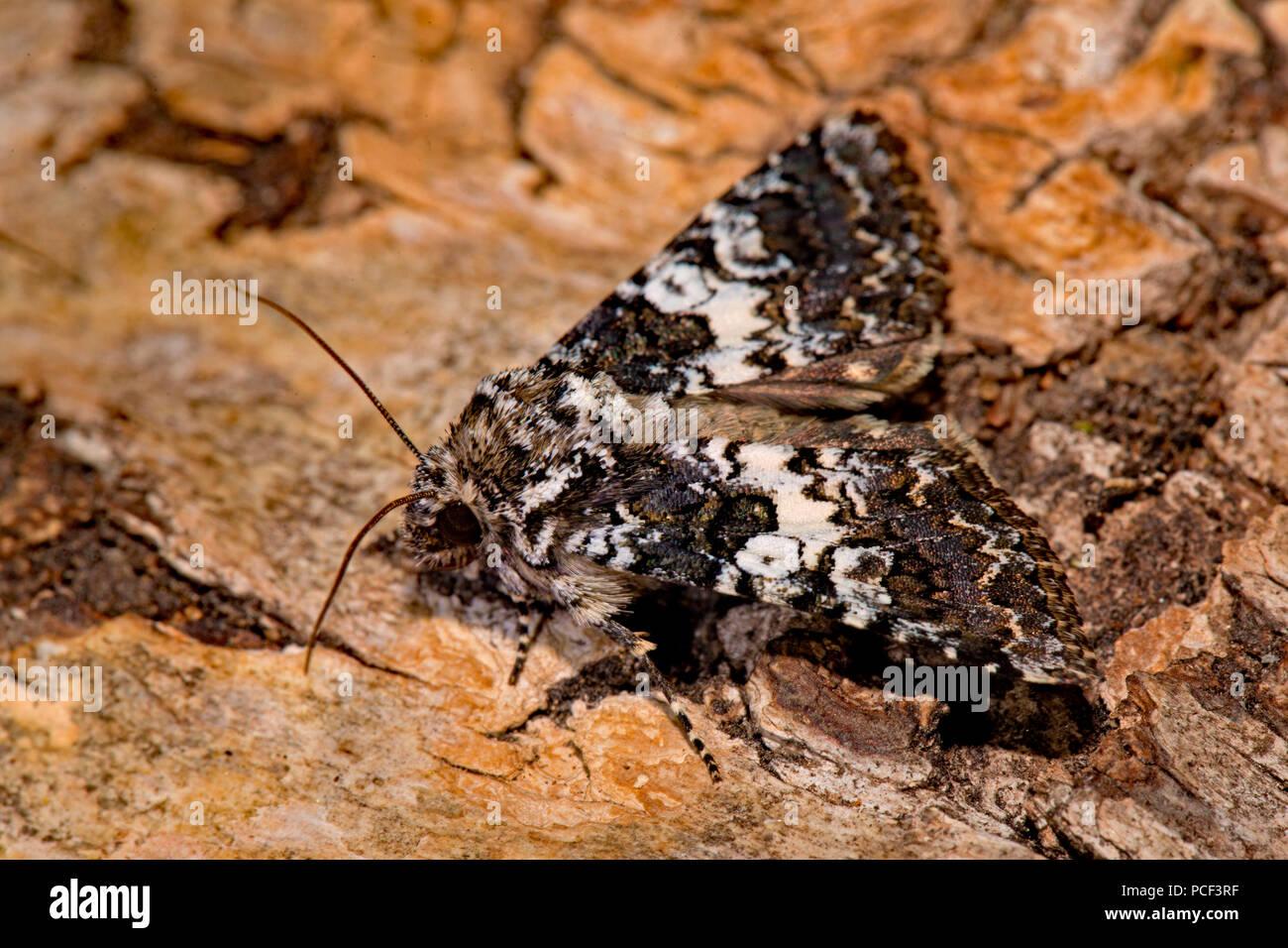 varied coronet moth, (Hadena compta) - Stock Image