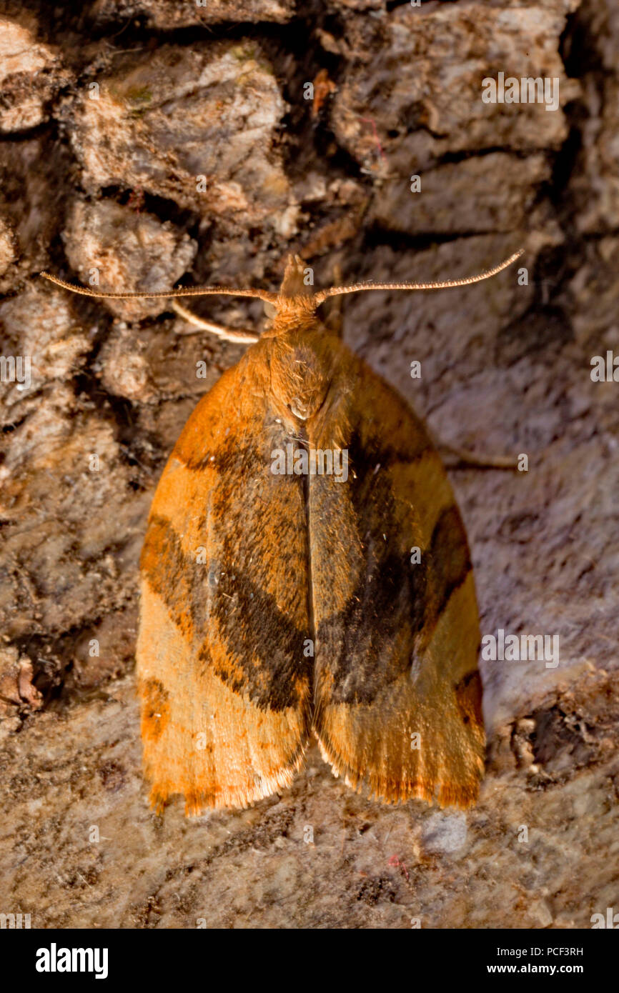 barred fruit-tree tortrix moth, (Pandemis cerasana) - Stock Image