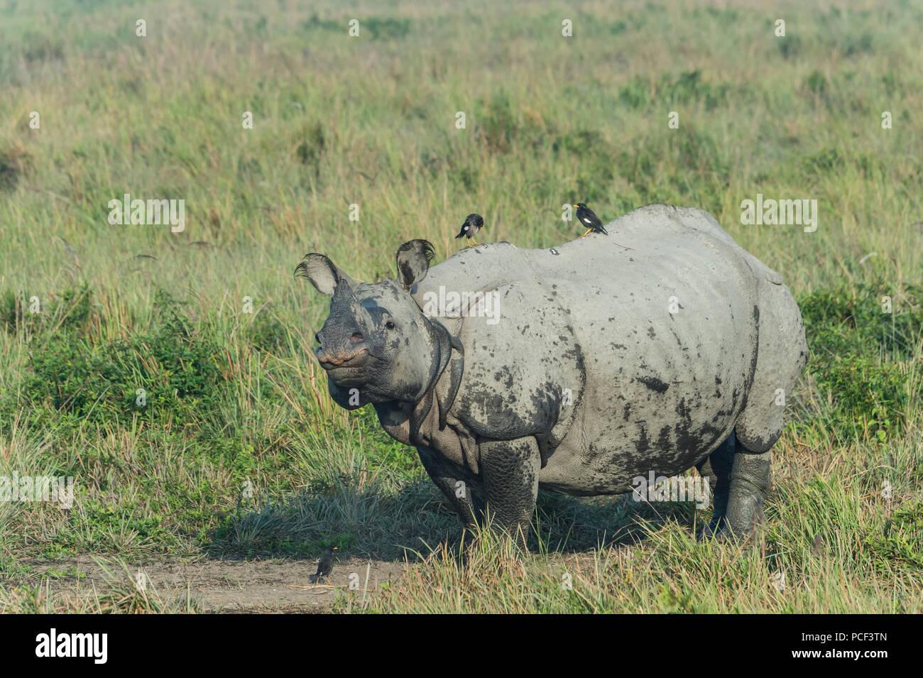 Indian rhinoceros (Rhinoceros unicornis) with Myna birds, Kaziranga National Park, Assam, India - Stock Image