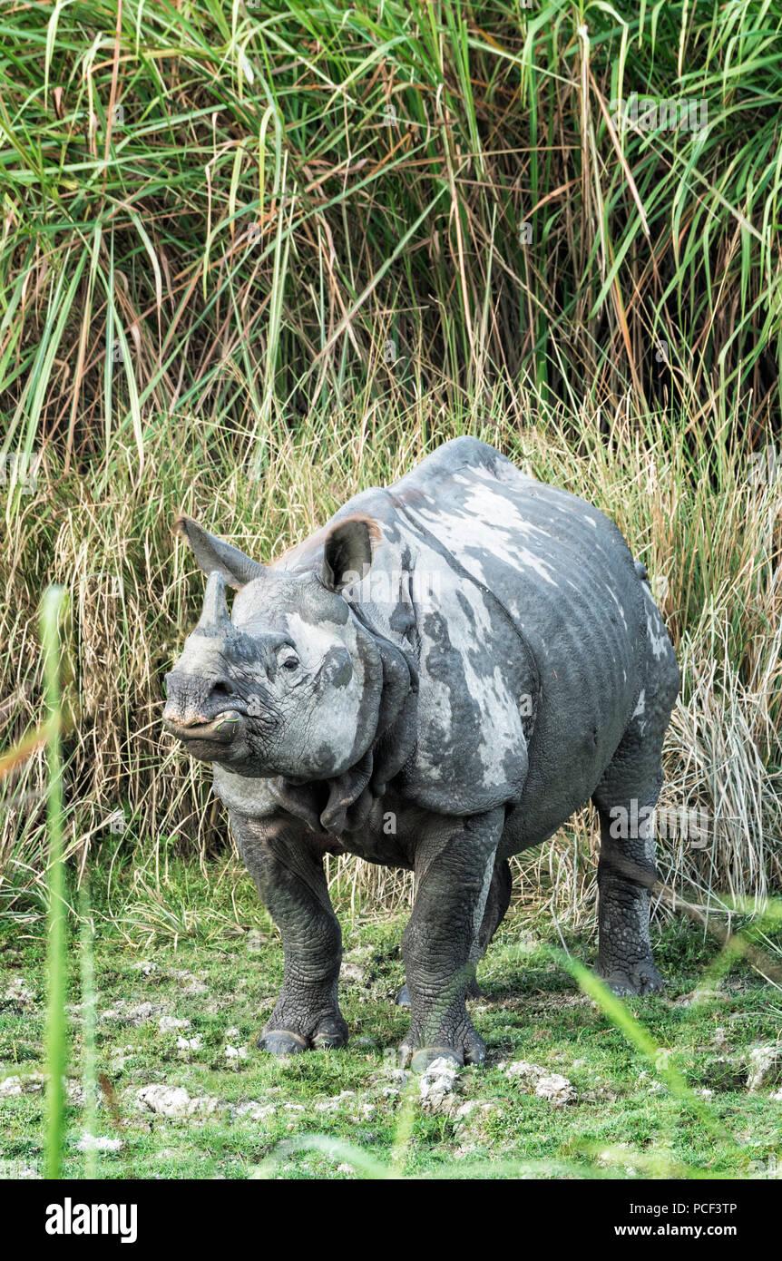 Male Indian rhinoceros (Rhinoceros unicornis) in elephant grass, Kaziranga National Park, Assam, India - Stock Image