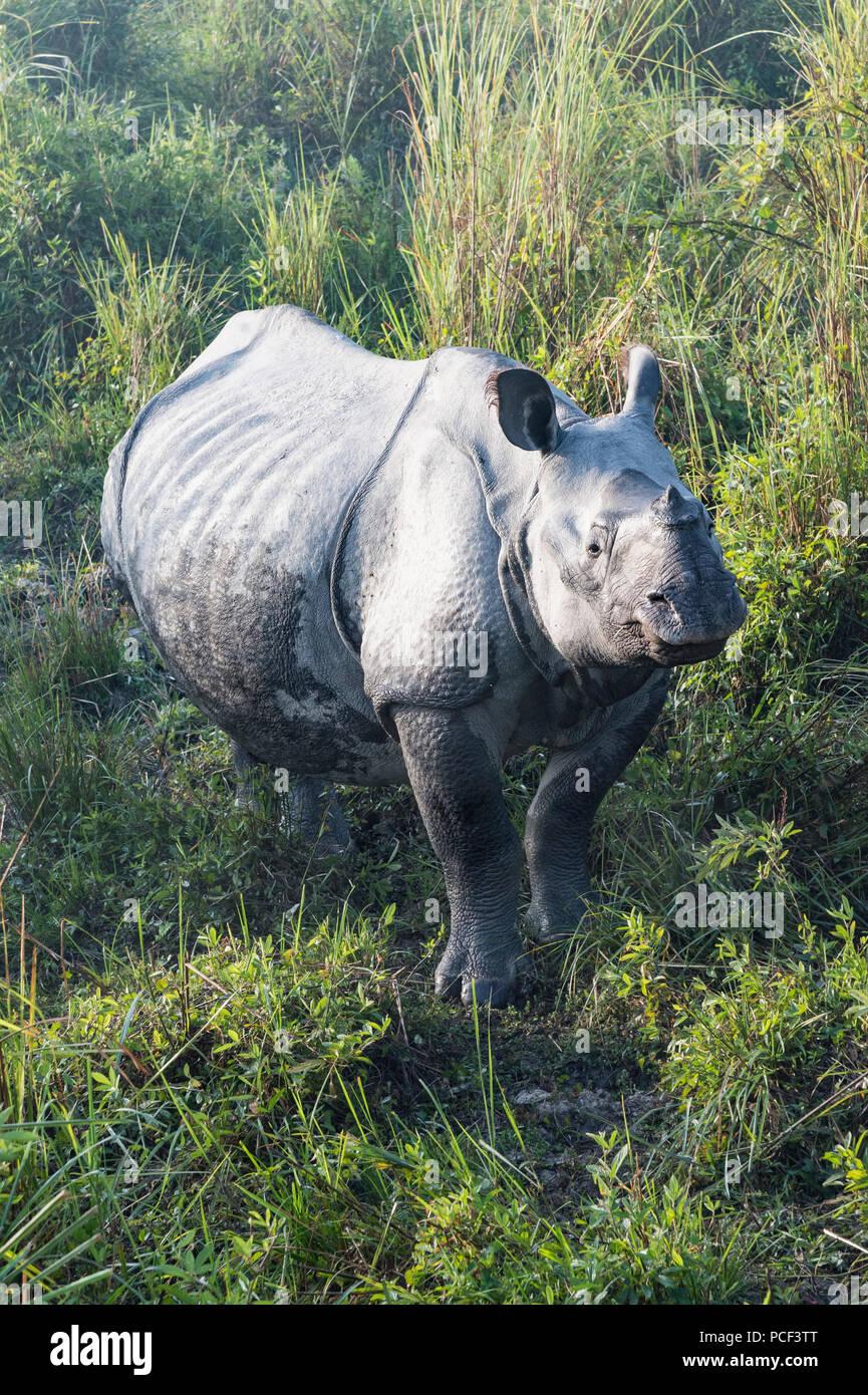 Indian rhinoceros (Rhinoceros unicornis) in elephant grass, Kaziranga National Park, Assam, India - Stock Image
