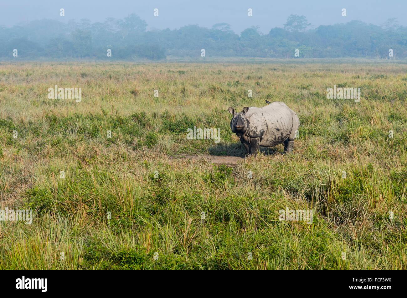 Indian rhinoceros (Rhinoceros unicornis) walking in elephant grass, Kaziranga National Park, Assam, India - Stock Image