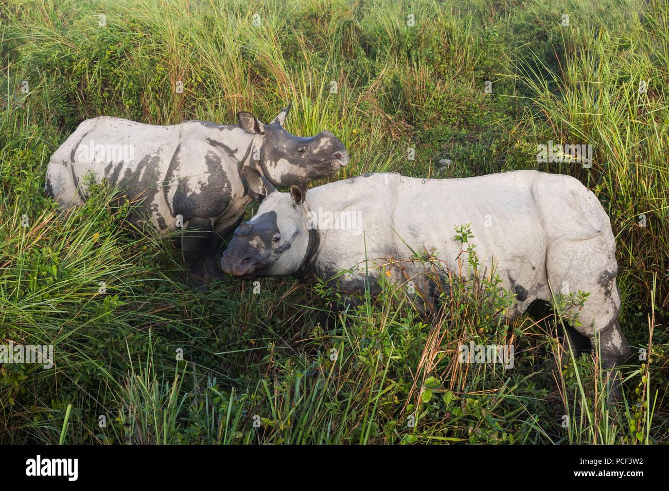 Couple of Indian rhinoceros (Rhinoceros unicornis) in elephant grass, Kaziranga National Park, Assam, India - Stock Image