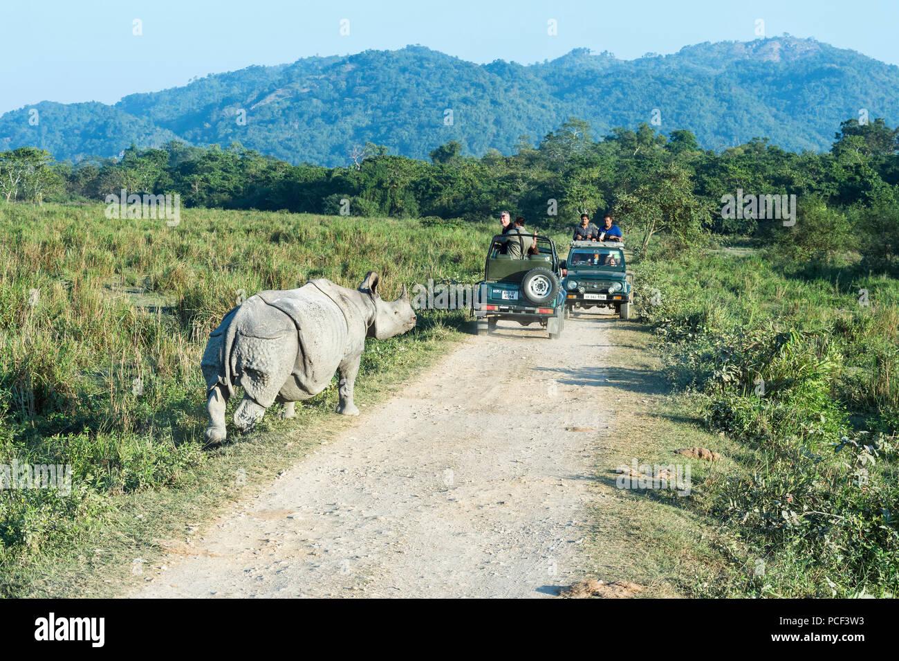 Indian rhinoceros (Rhinoceros unicornis) charging a vehicle with tourists, Kaziranga National Park, Assam, India - Stock Image