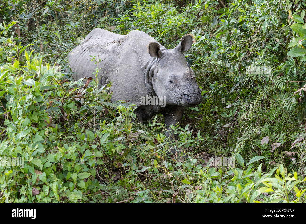 Indian rhinoceros (Rhinoceros unicornis) in the forest, Chitwan National Park, Nepal - Stock Image