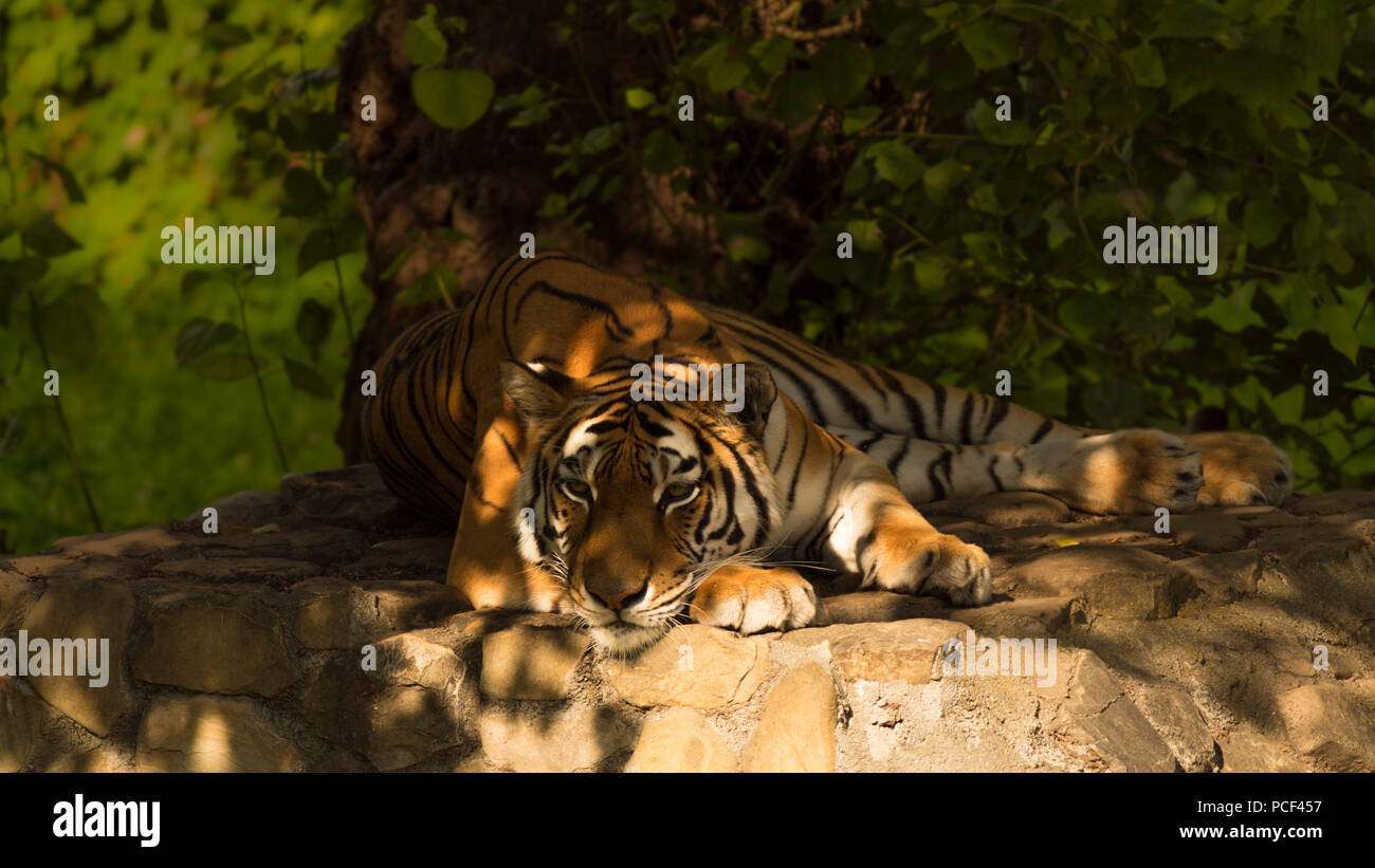 Siberian tiger lying down Stock Photo