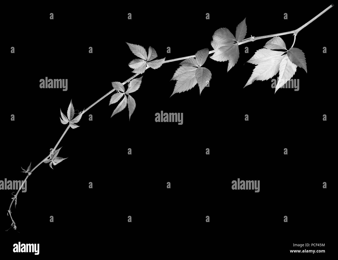 Black and white twig of grapes leaves, parthenocissus quinquefolia foliage. Isolated on black background with copy space. Negative picture. - Stock Image