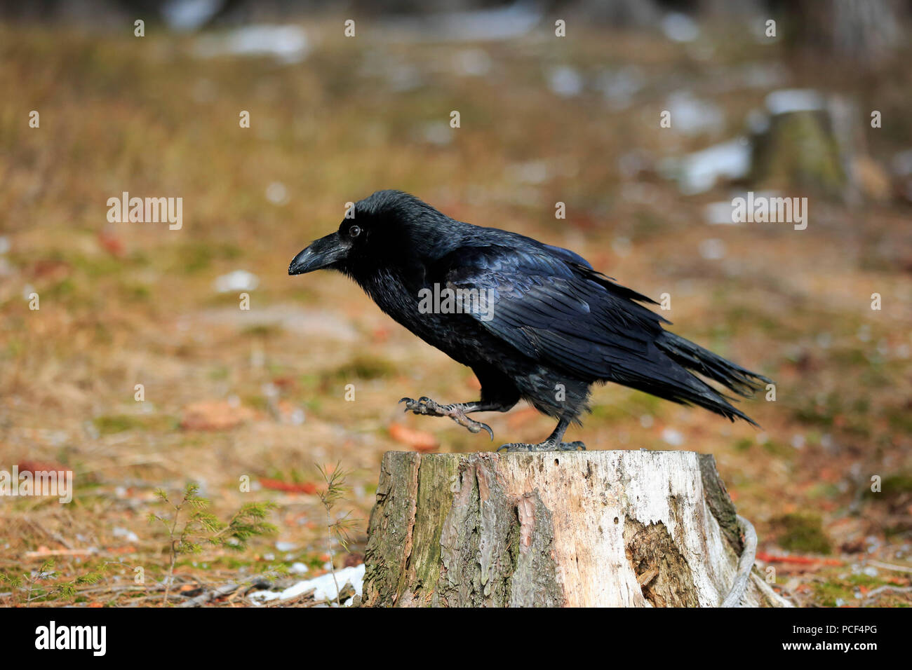 Common Raven, adult, Zdarske Vrchy, Bohemian-Moravian Highlands, Czech Republic, (Corvus corax) - Stock Image