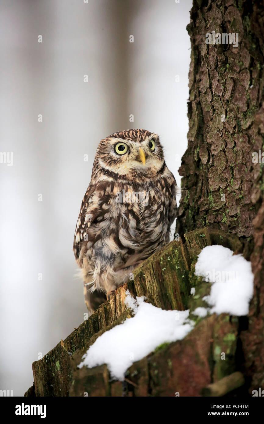 Little owl, adult, Zdarske Vrchy, Bohemian-Moravian Highlands, Czech Republic, (Athene noctua) Stock Photo