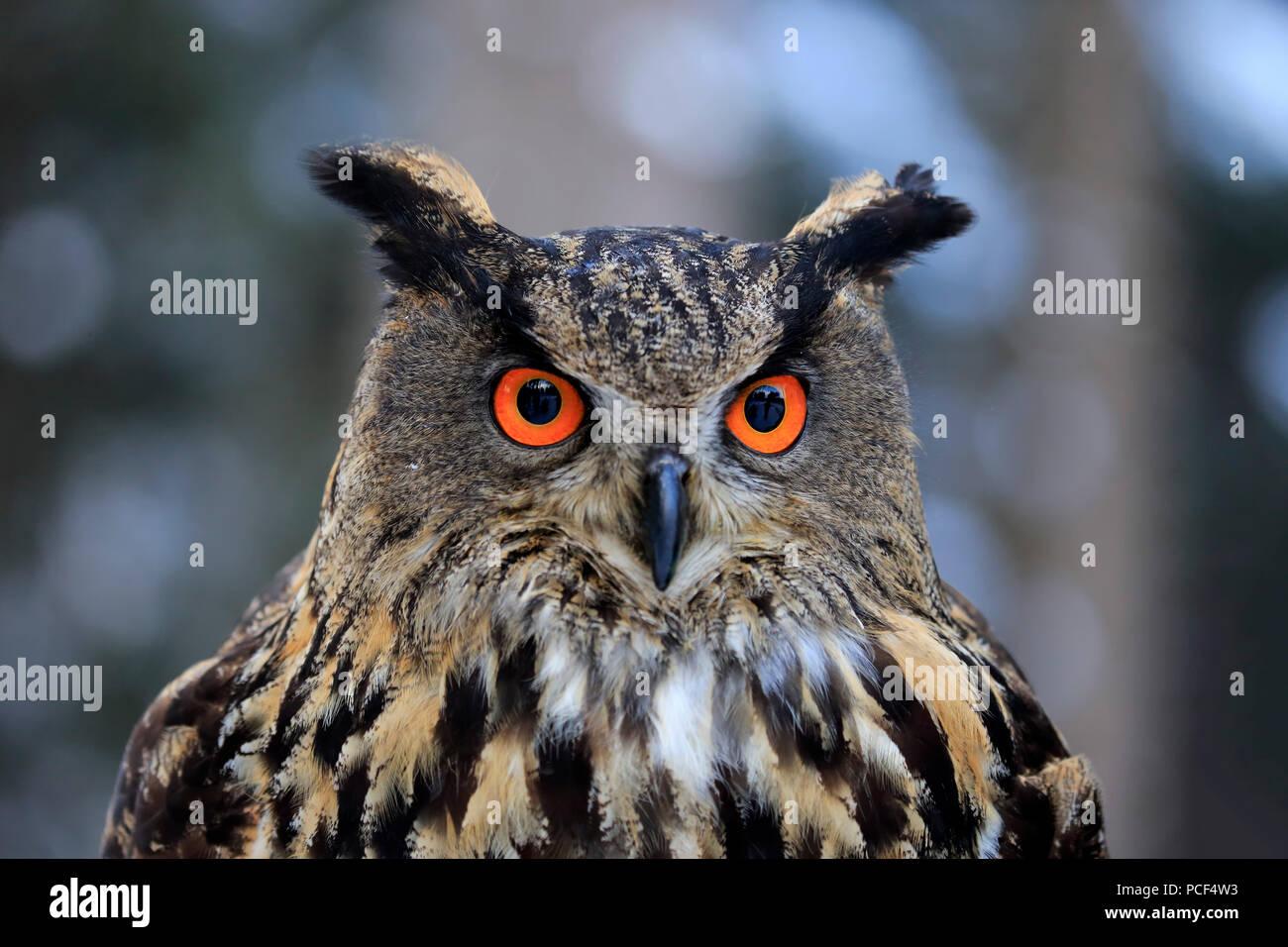 Eagle Owl, adult, Zdarske Vrchy, Bohemian-Moravian Highlands, Czech Republic, (Bubo bubo) - Stock Image