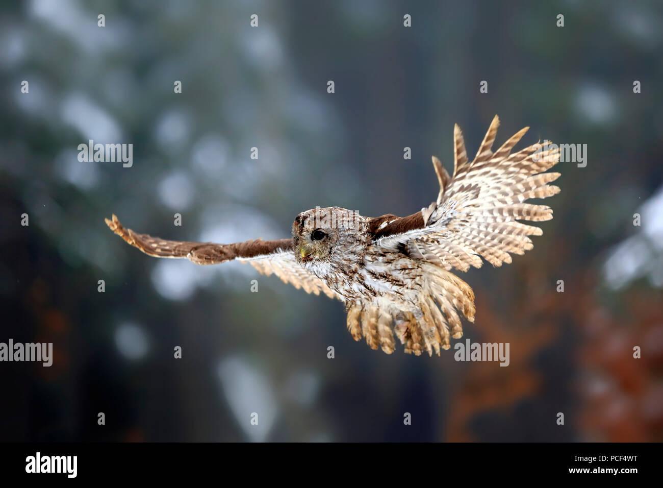 Tawny Owl, adult, Zdarske Vrchy, Bohemian-Moravian Highlands, Czech Republic, (Strix aluco) - Stock Image