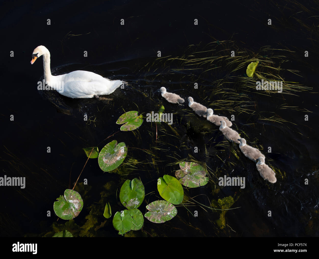 A swan fllowed by a line of Cygnets Stock Photo