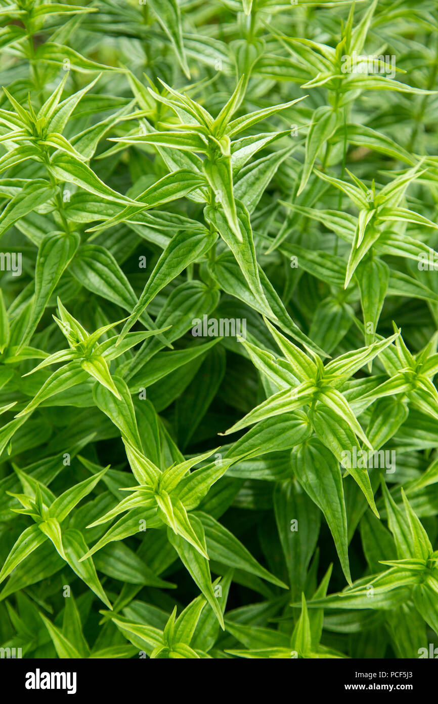 Texture of green pointed leaves of a growing plant. Top view. Stock Photo