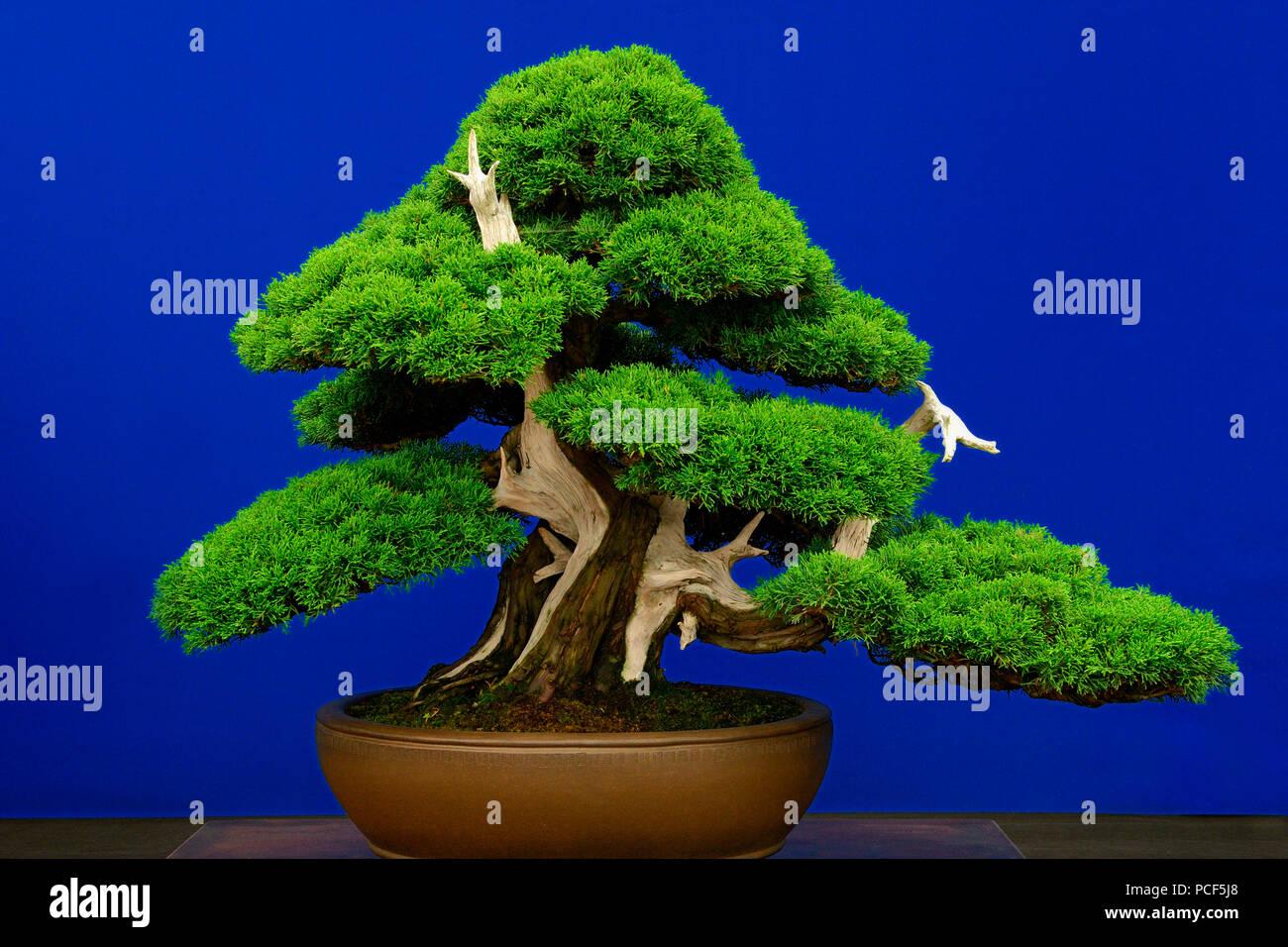 Bonsai Baum Chinesischer Wacholder Juniperus Chinensis Sorte Itoigawa Ca 1875 Stock Photo Alamy