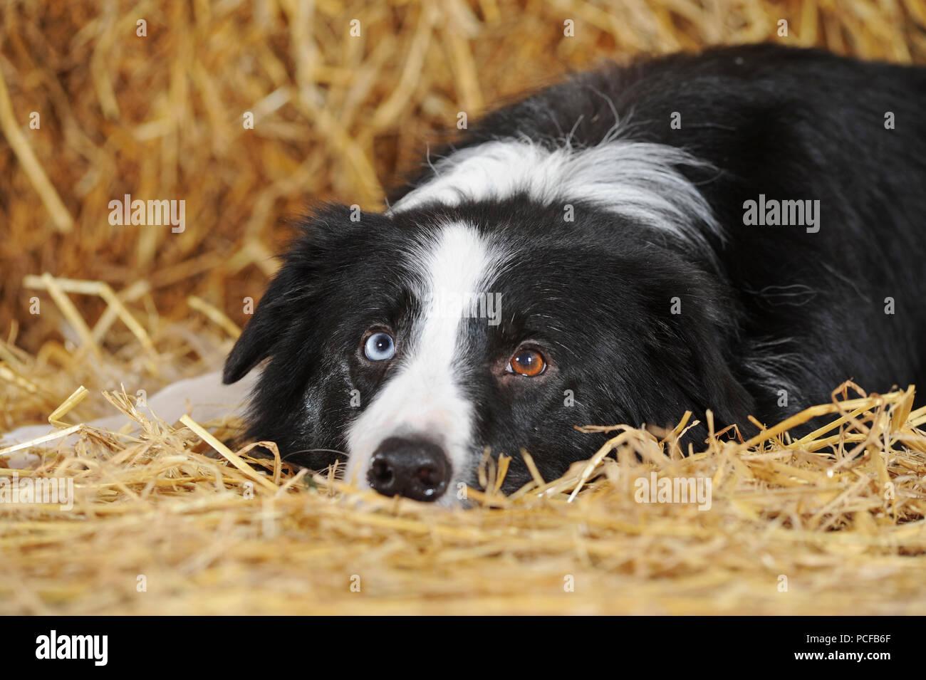 border collie with blue eyes stock photos amp border collie