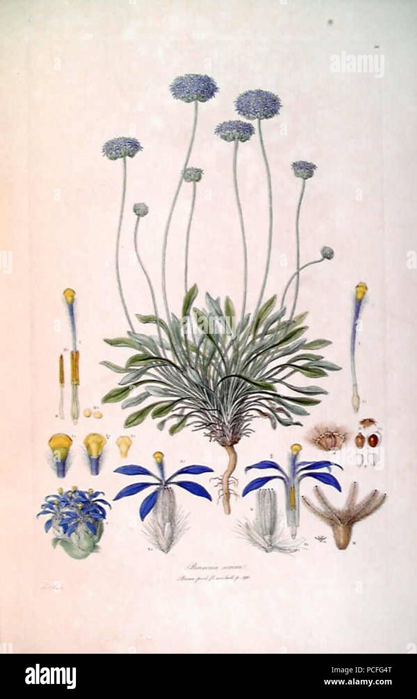 103 Brunonia sericea (Illustrationes Florae Novae Hollandiae plate 10) Stock Photo