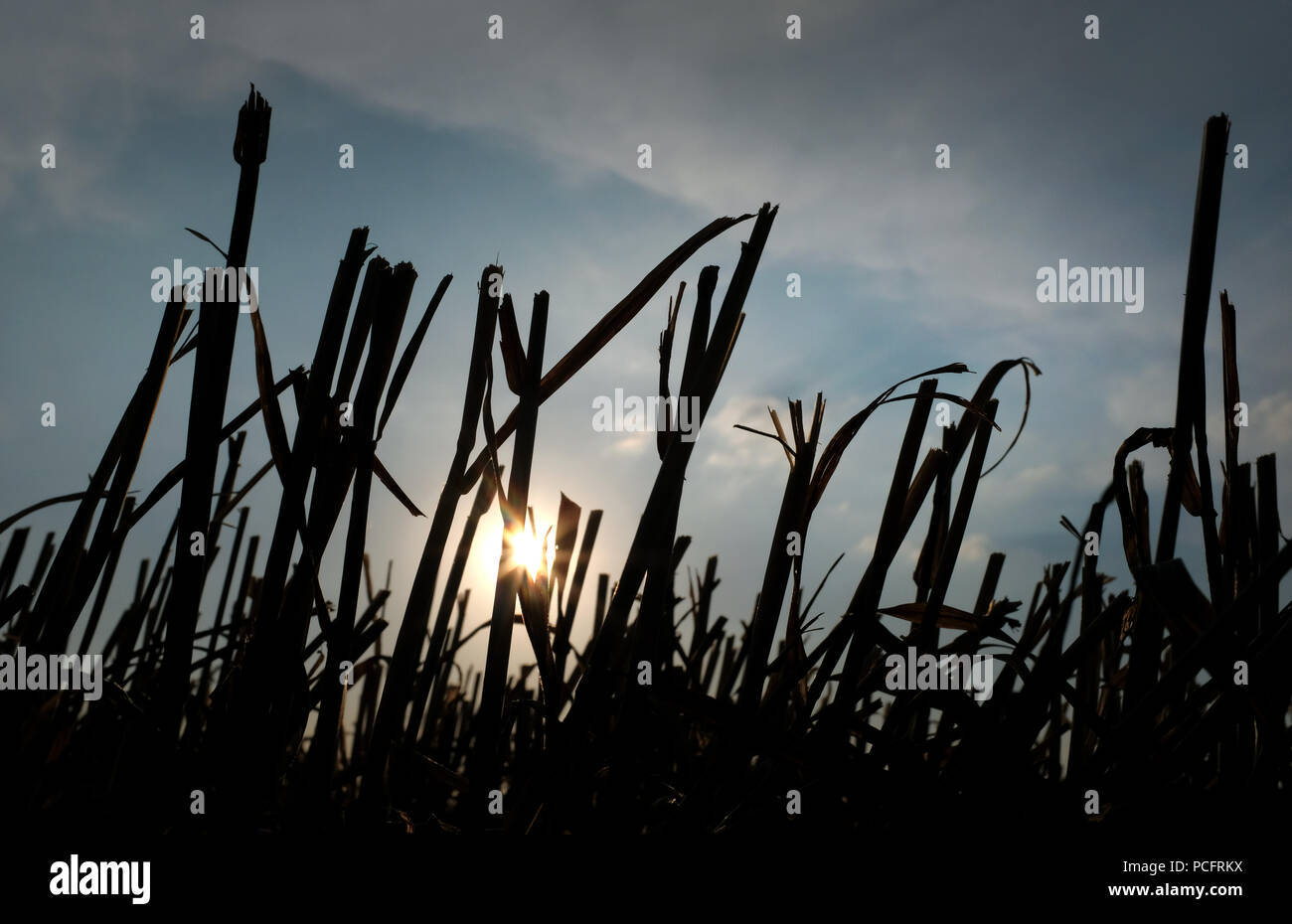 Duisburg, Germanhy. 02nd Aug, 2018. After the wheat harvest, the stalks protrude from the ground in a field. Farmers in many areas of Germany have had to contend with weeks of dry weather. Credit: Martin Gerten/dpa/Alamy Live News Stock Photo