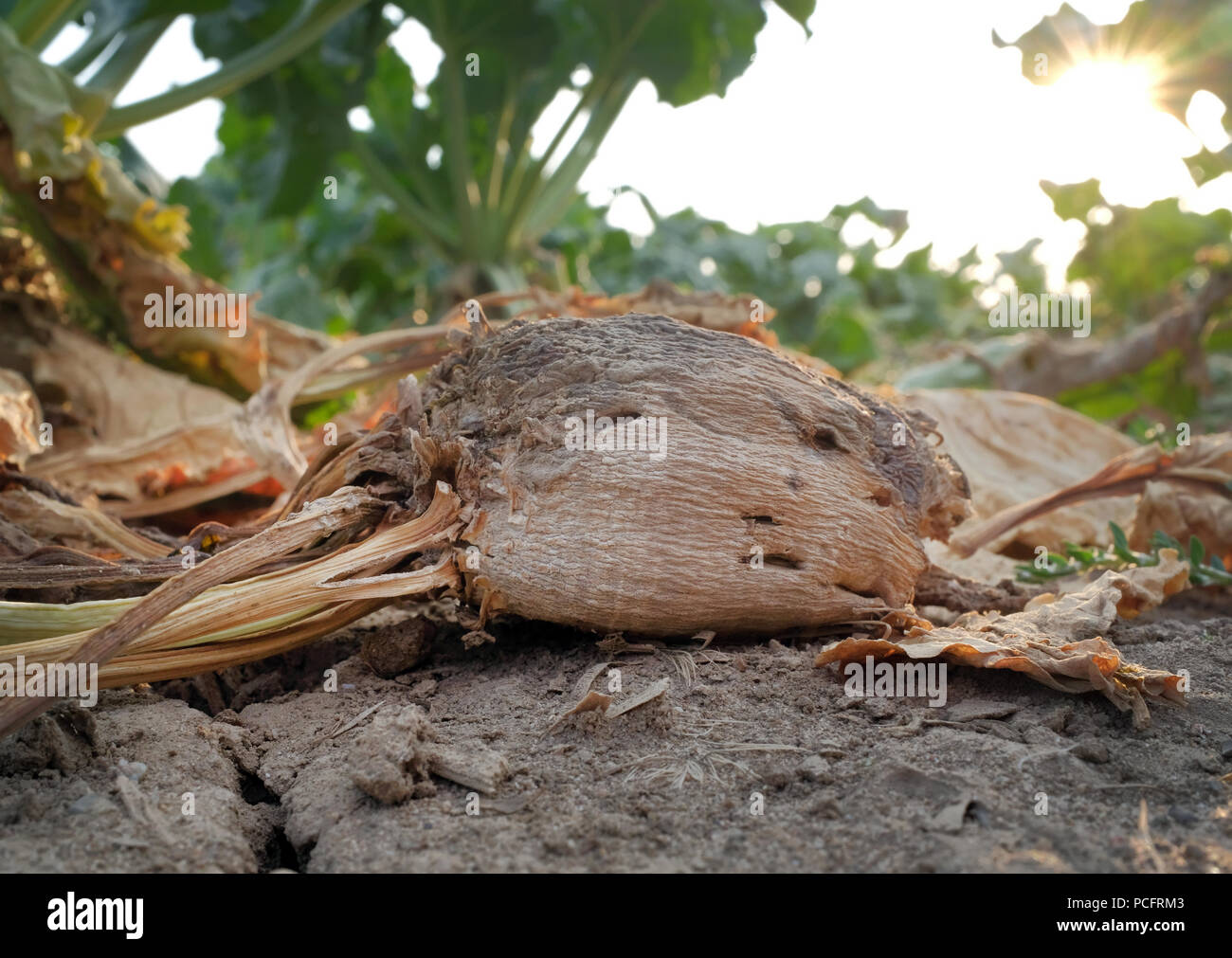 Duisburg, Germany. 02nd Aug, 2018. A sugar beet in a field. Farmers in many areas of Germany have had to contend with weeks of dry weather. Credit: Martin Gerten/dpa/Alamy Live News Stock Photo