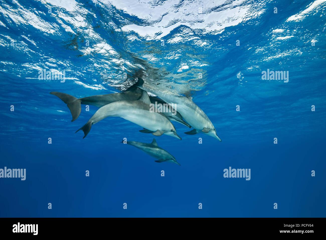 August 2, 2018 - Red Sea, Sataya Reef, Marsa Alam, Egypt, Africa - Family of Spinner Dolphins (Stenella longirostris) swim under surface of water (Credit Image: © Andrey Nekrasov/ZUMA Wire/ZUMAPRESS.com) Stock Photo