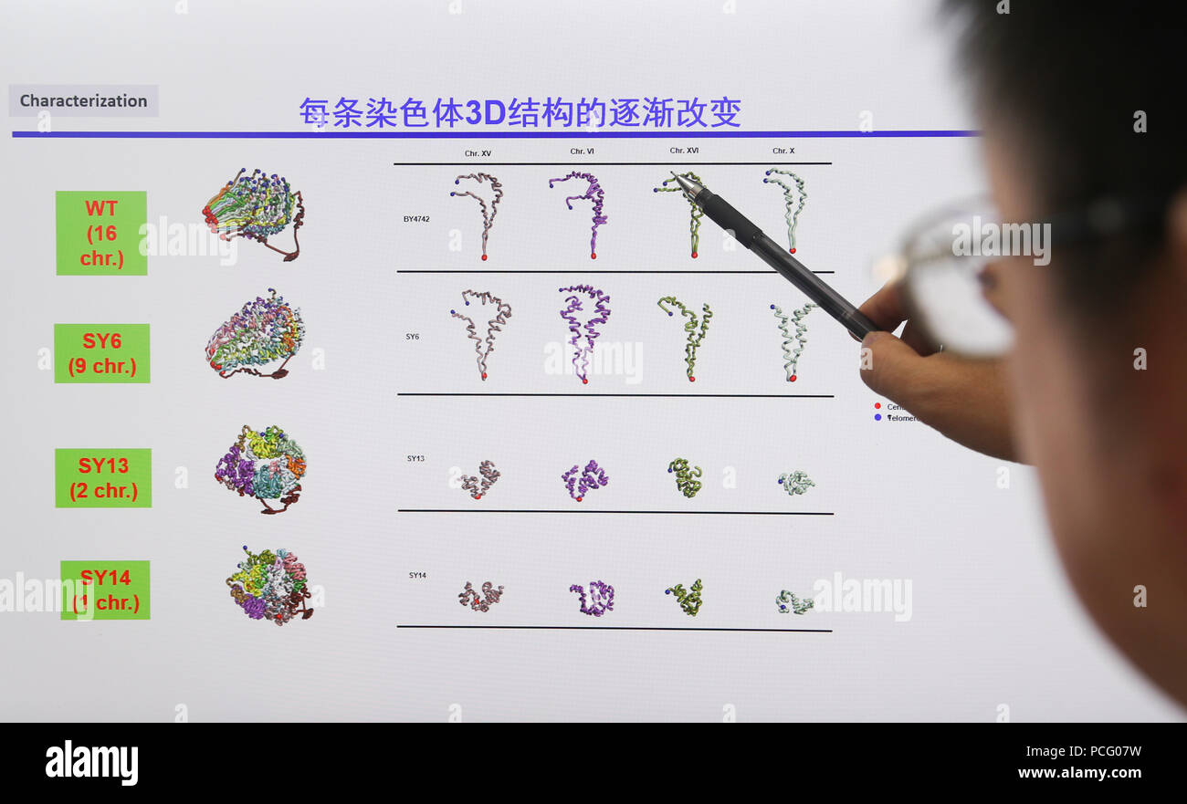 (180802) -- SHANGHAI, Aug. 2, 2018 (Xinhua) -- Qin Zhongjun, a molecular biologist at the Center for Excellence in Molecular Plant Sciences of the Shanghai Institute of Plant Physiology and Ecology under the Chinese Academy of Sciences, introduces his research in Shanghai, east China, July 31, 2018. Brewer's yeast, one-third of whose genome is said to share ancestry with humans, has 16 chromosomes. However, Chinese scientists have managed to fit nearly all its genetic material into just one chromosome while not affecting the majority of its functions, according to a paper released Thursday on  - Stock Image