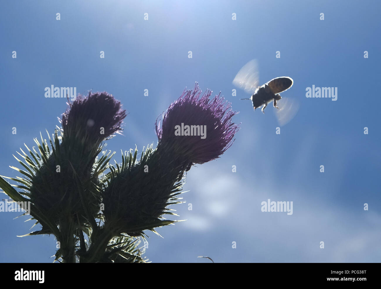 Los Angeles, California, USA. 2nd Aug, 2018. A bee collects honey on ...
