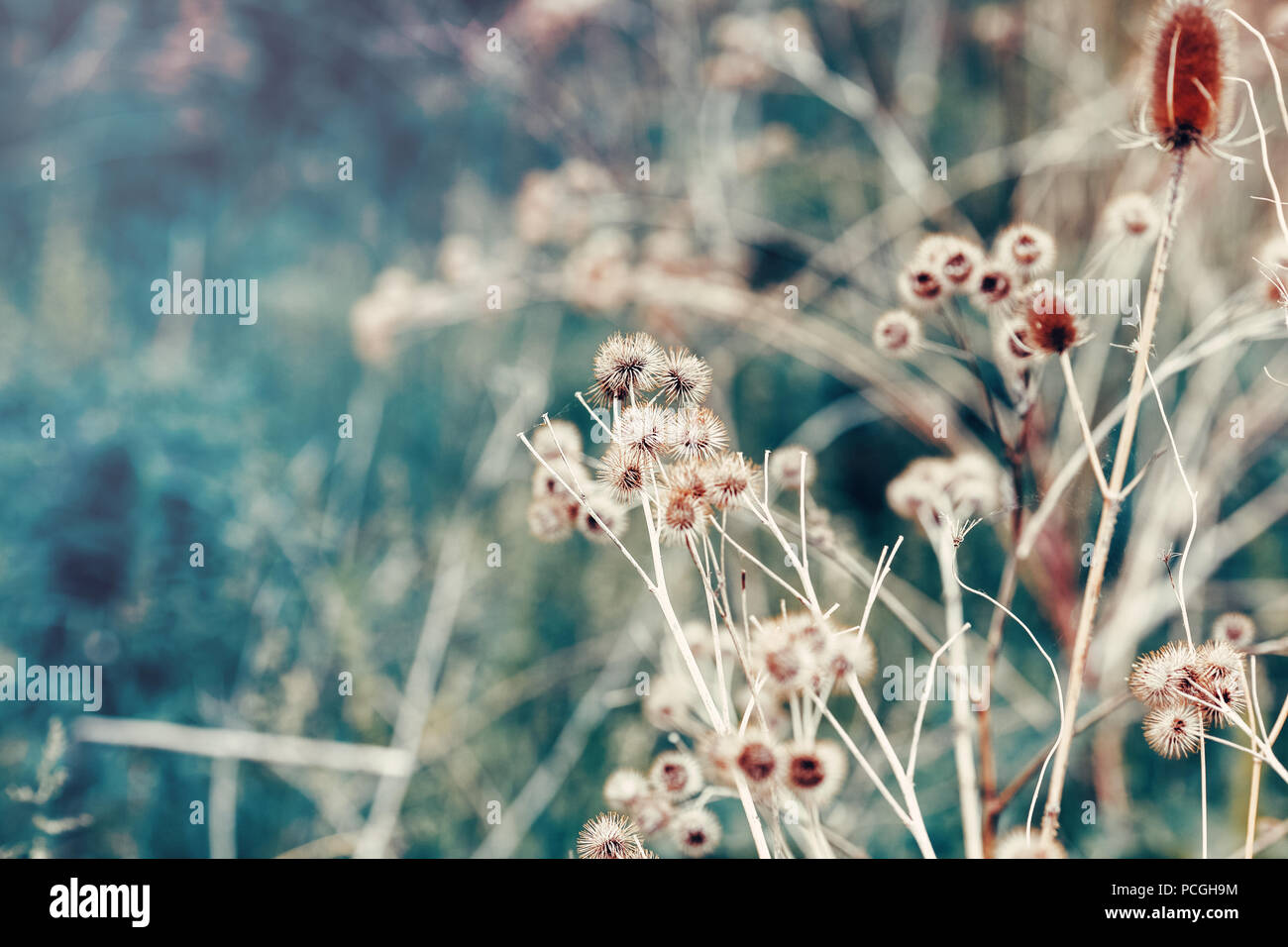 Beautiful fairy dreamy magic burdock thorns, toned with