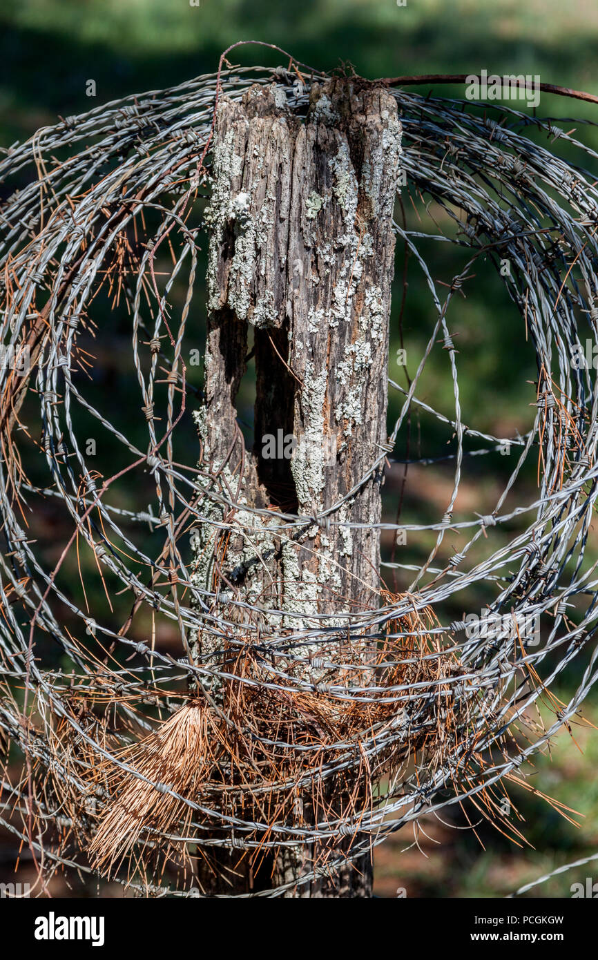 Pine needles caught in a coiled strand of barbed wire on a fence post in a pasture near Knoxville, Tennessee. - Stock Image