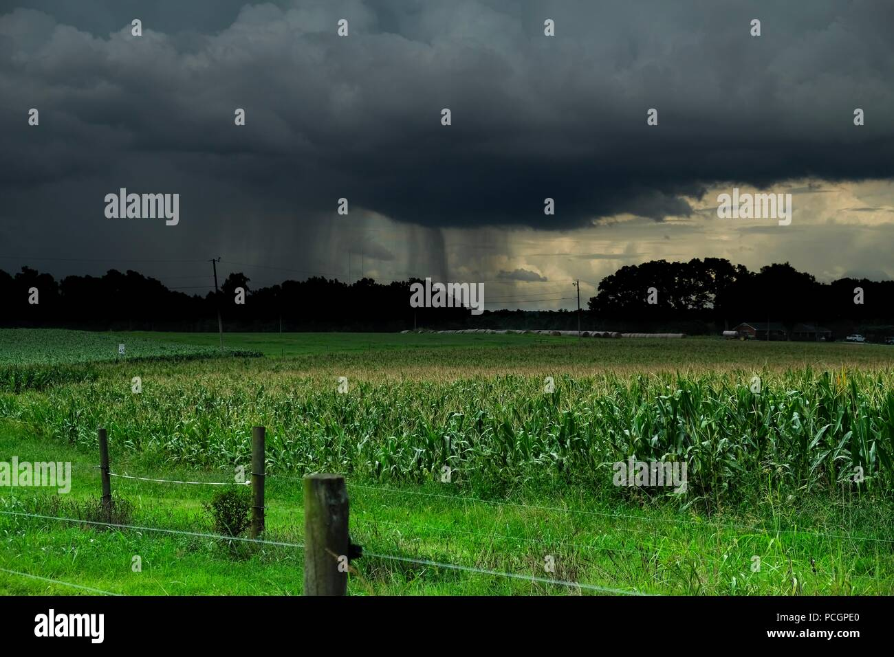 A heavy rain shower across the distance over corn fields - Stock Image