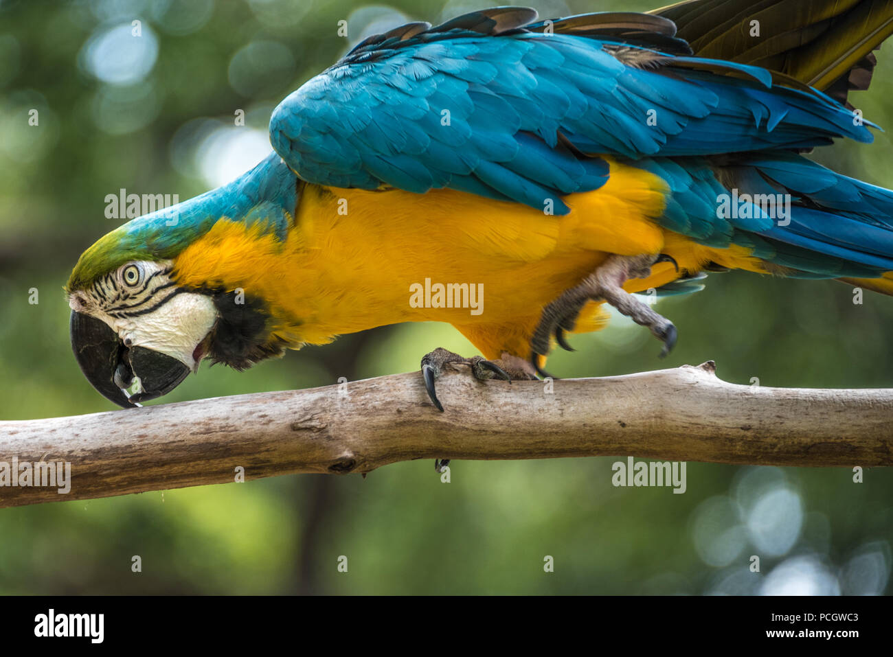 A vibrant blue-and-yellow macaw (also known as a blue-and-gold macaw) at the St. Augustine Alligator Farm Zoological Park in St. Augustine, FL. (USA) - Stock Image