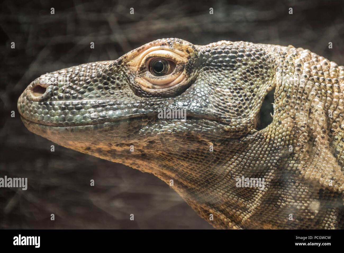Komodo dragon profile close-up view. - Stock Image