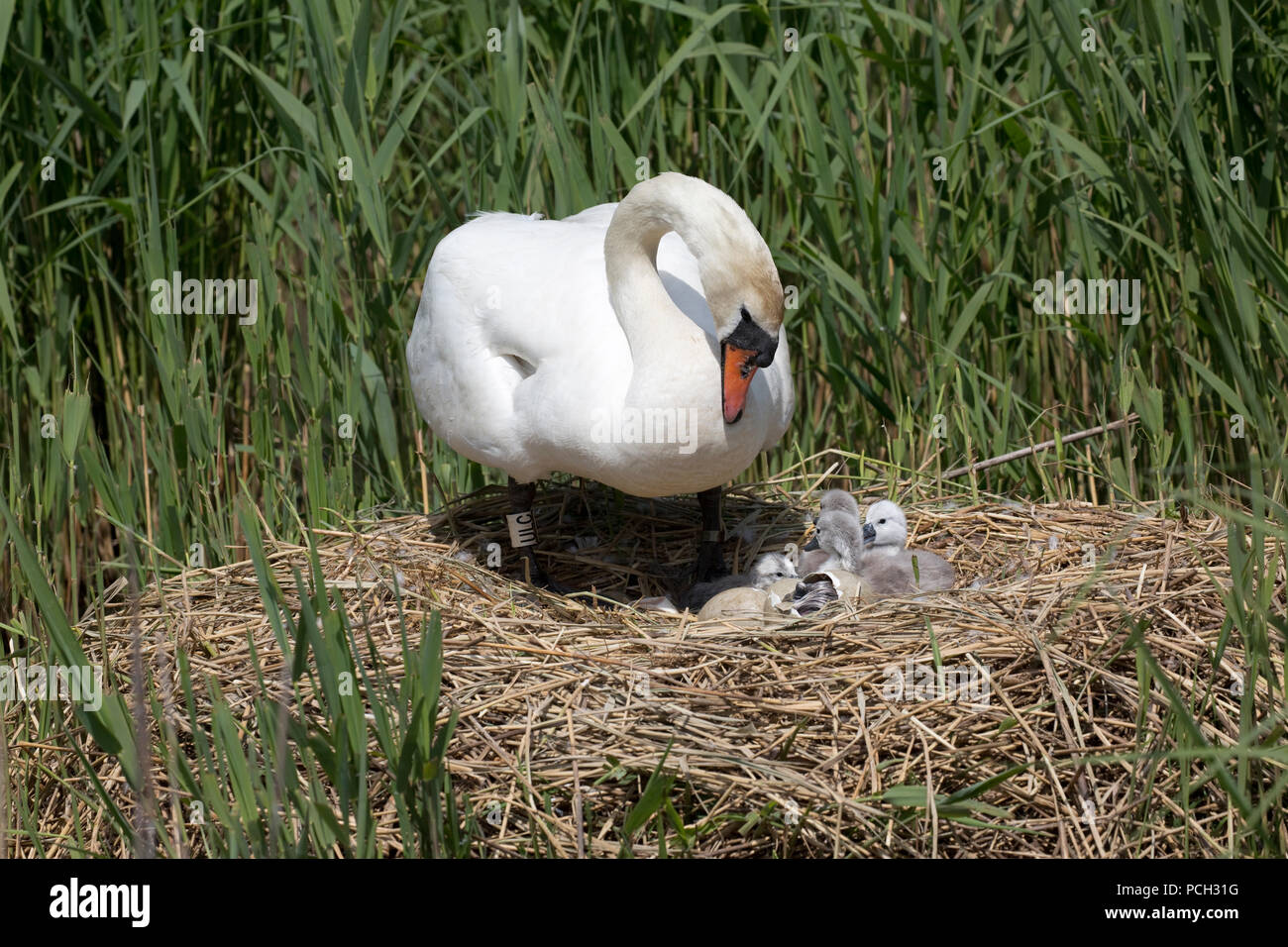 Mute swan Cygnus olor on nest with eggs and cygnets Abbotsbury Swannery Dorset Stock Photo